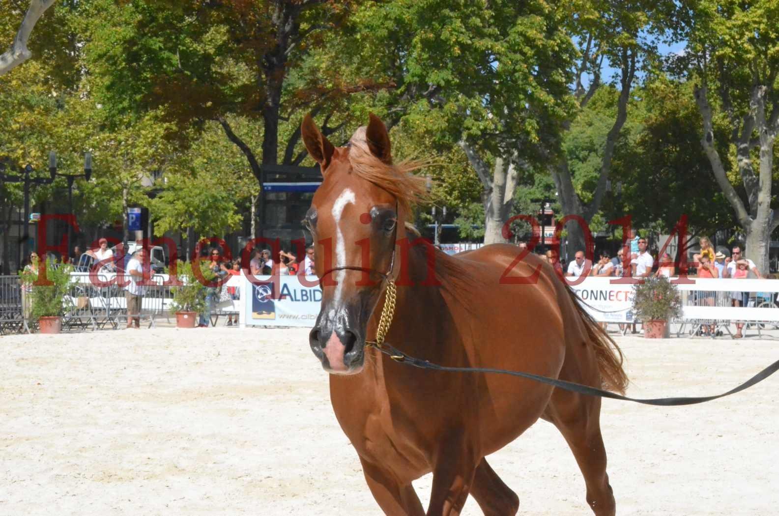 Concours National de Nîmes de chevaux ARABES 2014 - Championnat - MASSAI DE BARREL - 34