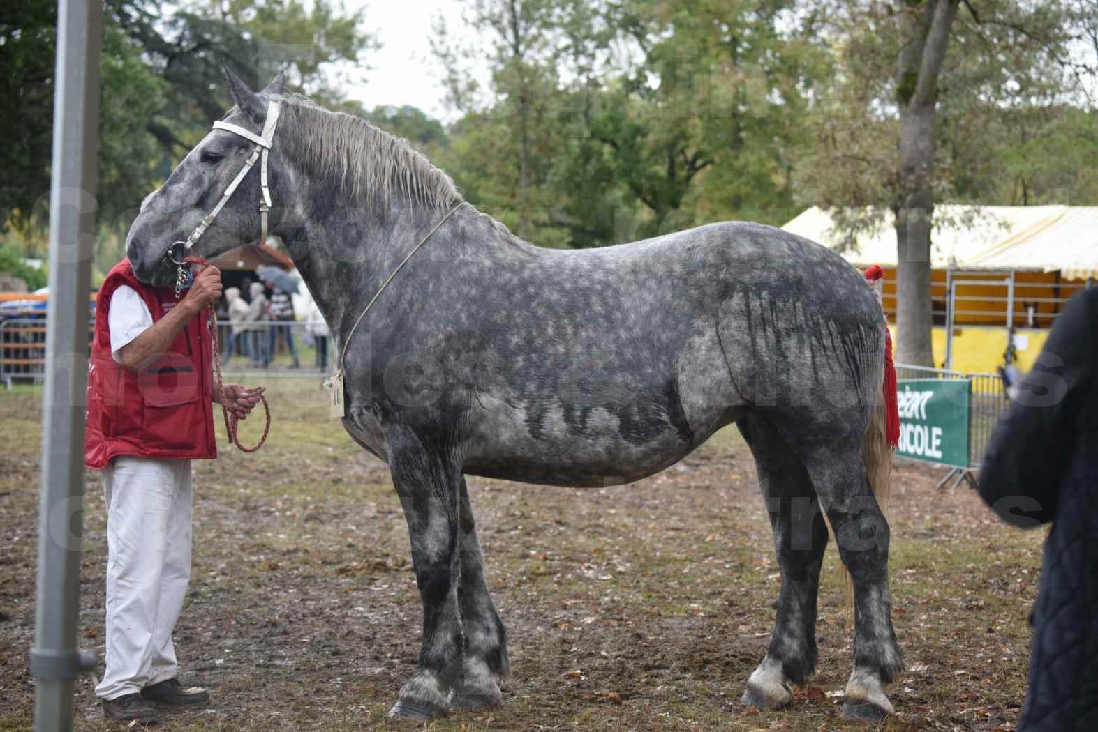 Concours Régional de chevaux de traits en 2017 - Pouliche Trait PERCHERON - ÉCAILLE DU RAMIER - 04