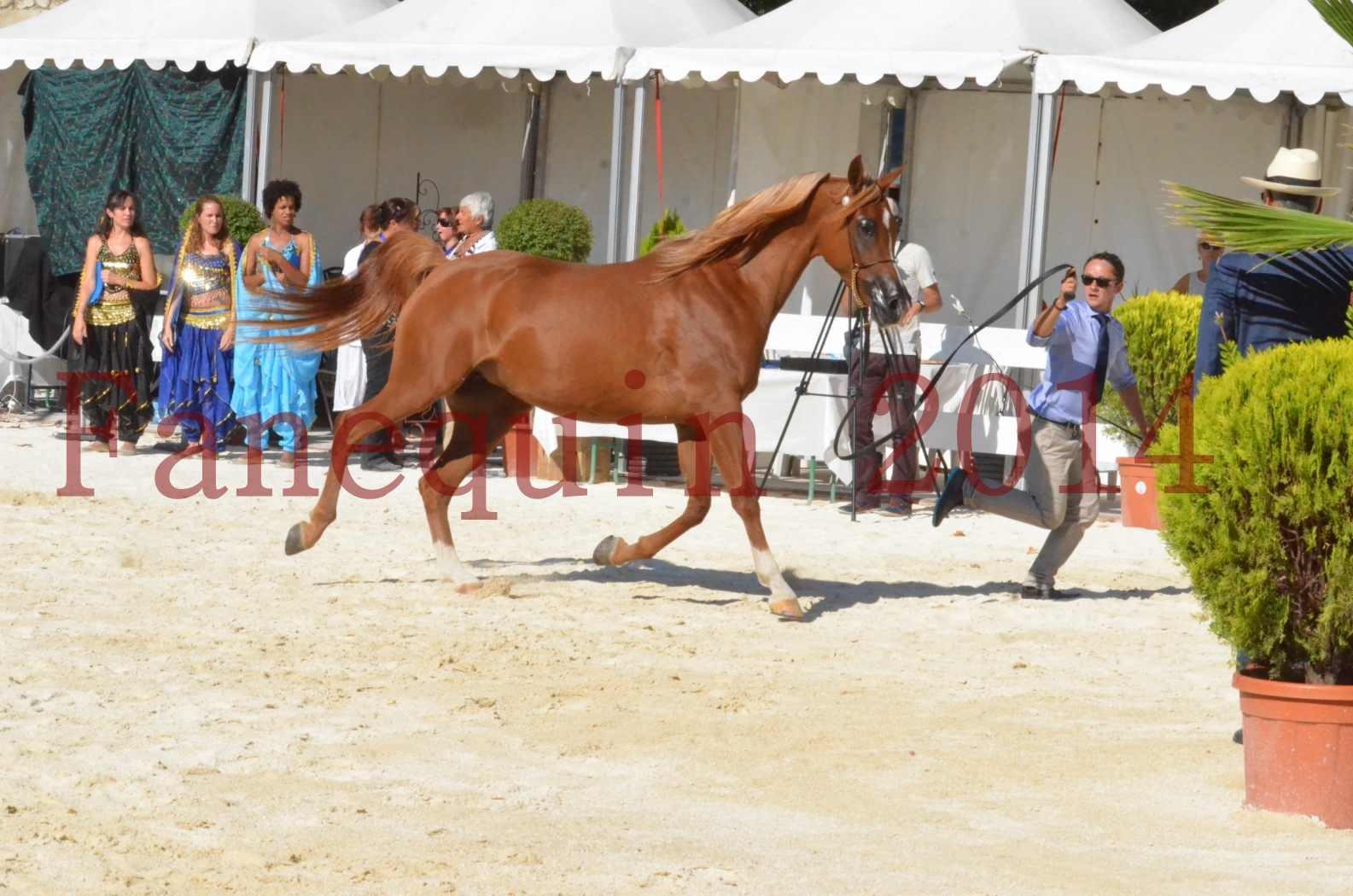 Concours National de Nîmes de chevaux ARABES 2014 - Championnat - MASSAI DE BARREL - 53