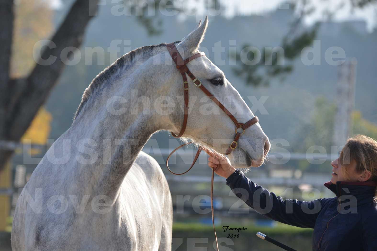 Confirmation de chevaux LUSITANIENS aux Haras d'UZES Novembre 2018 - LUTECE DU CASTEL - Portraits - 5