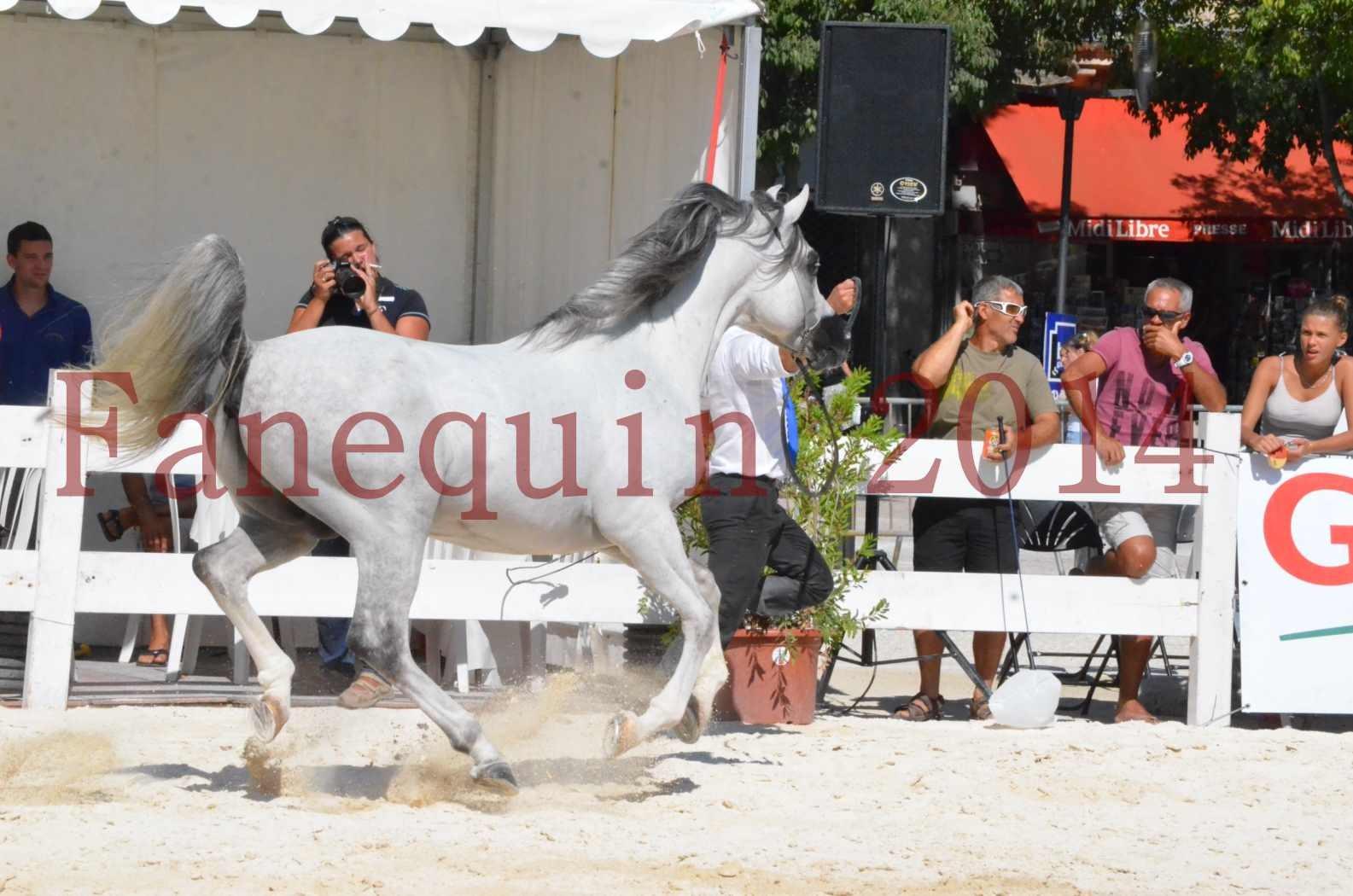 Concours National de Nîmes de chevaux ARABES 2014 - Sélection - SHAOLIN DE NEDJAIA - 24