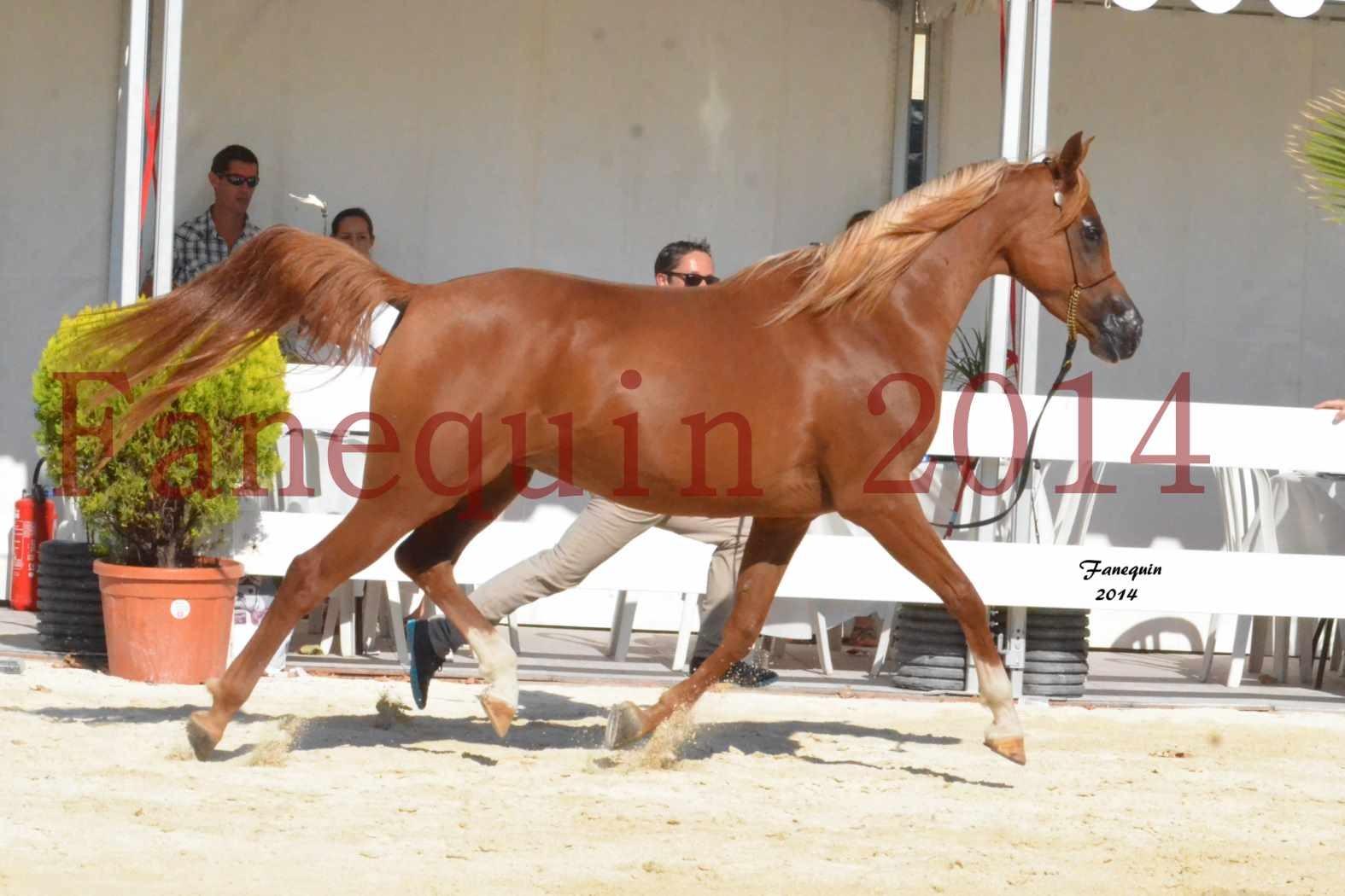 Concours National de Nîmes de chevaux ARABES 2014 - Notre Sélection - MASSAI DE BARREL - 09