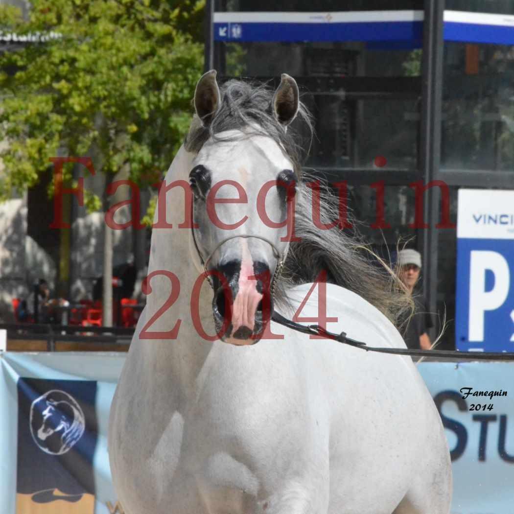 Concours National de Nîmes de chevaux ARABES 2014 - Notre Sélection - Portraits - SHAOLIN DE NEDJAIA - 07