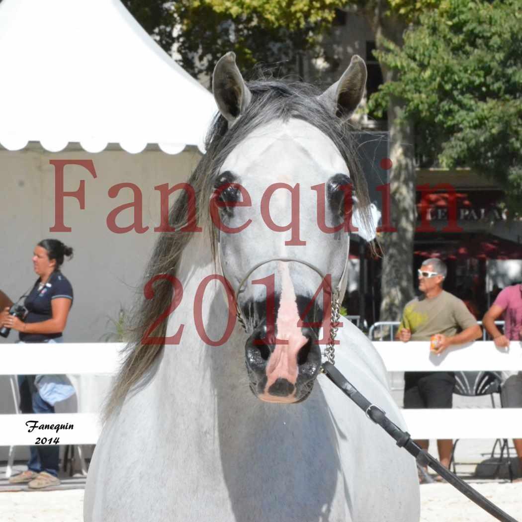 Concours National de Nîmes de chevaux ARABES 2014 - Notre Sélection - Portraits - SHAOLIN DE NEDJAIA - 02