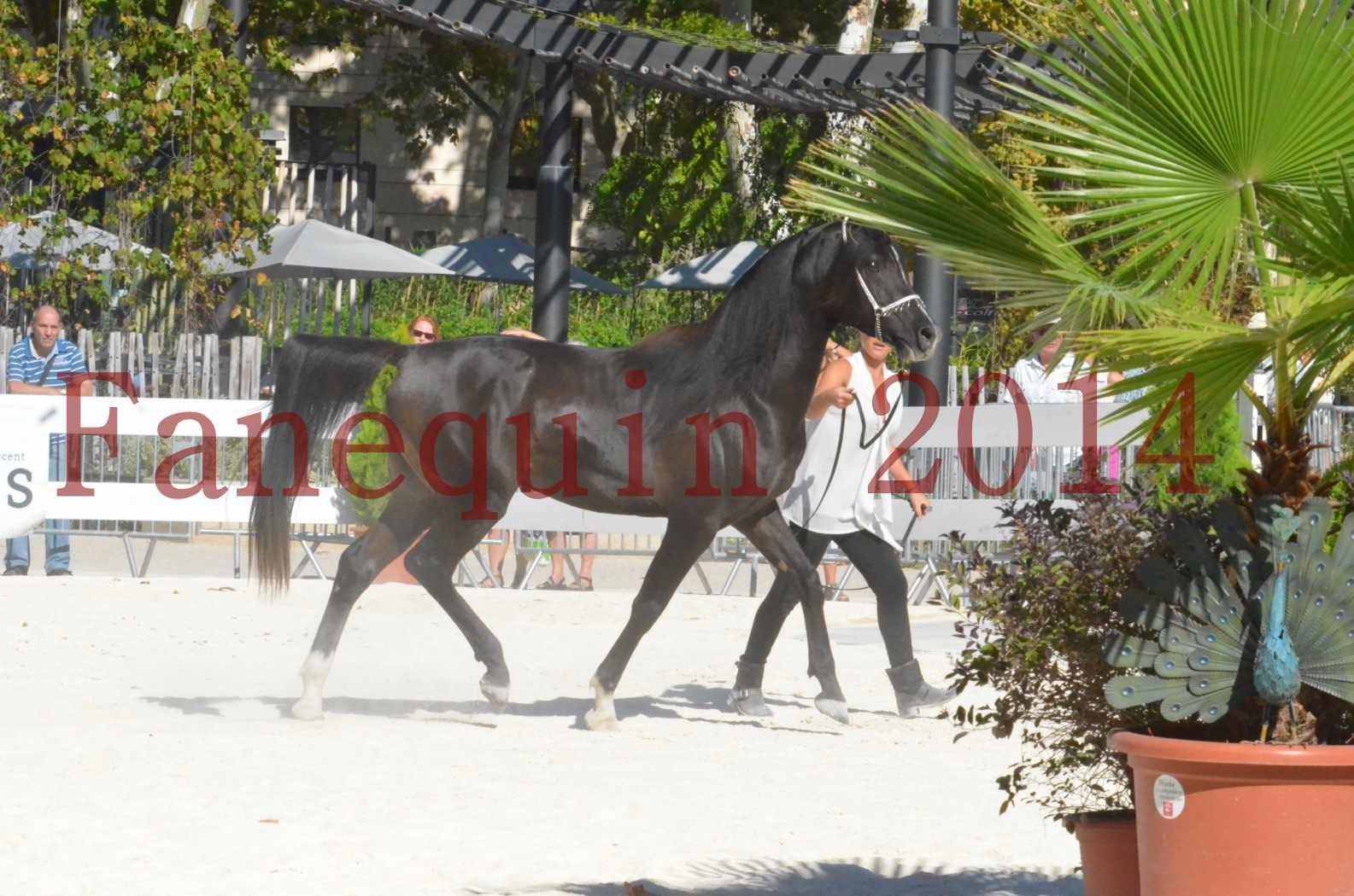 Concours National de Nîmes de chevaux ARABES 2014 - Sélection - Portraits - BALTYK DE CHAUMONT - 05