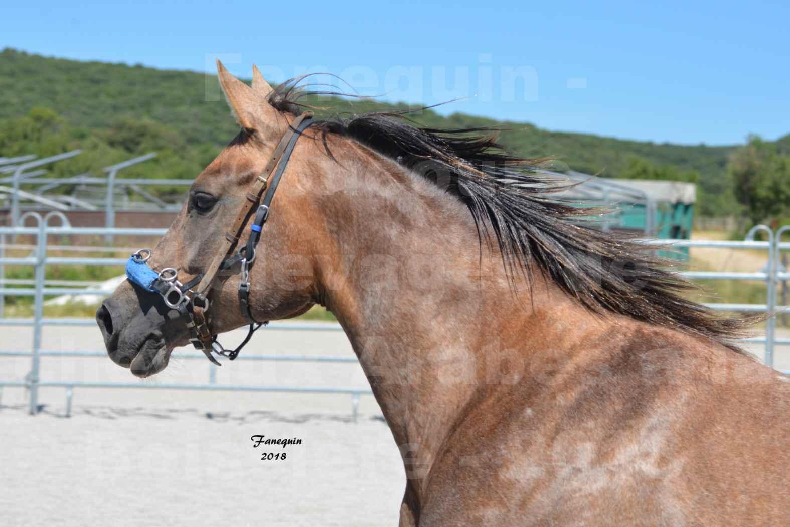 Concours d'Elevage de chevaux Arabes  le 27 juin 2018 à la BOISSIERE - MAREK LOTOIS - 4