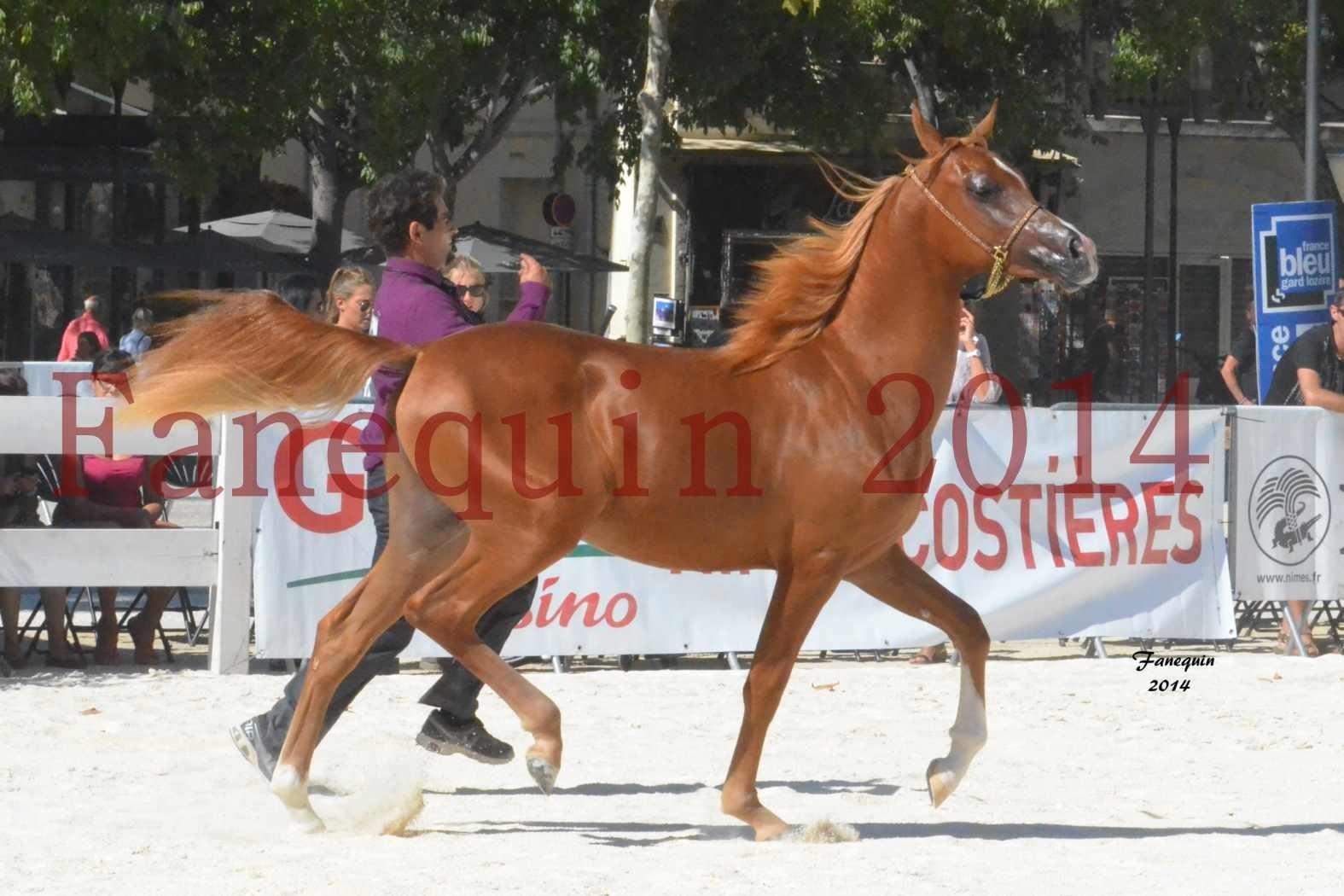 Concours National de Nîmes de chevaux ARABES 2014 - Notre Sélection - TSAR NERIO - 11