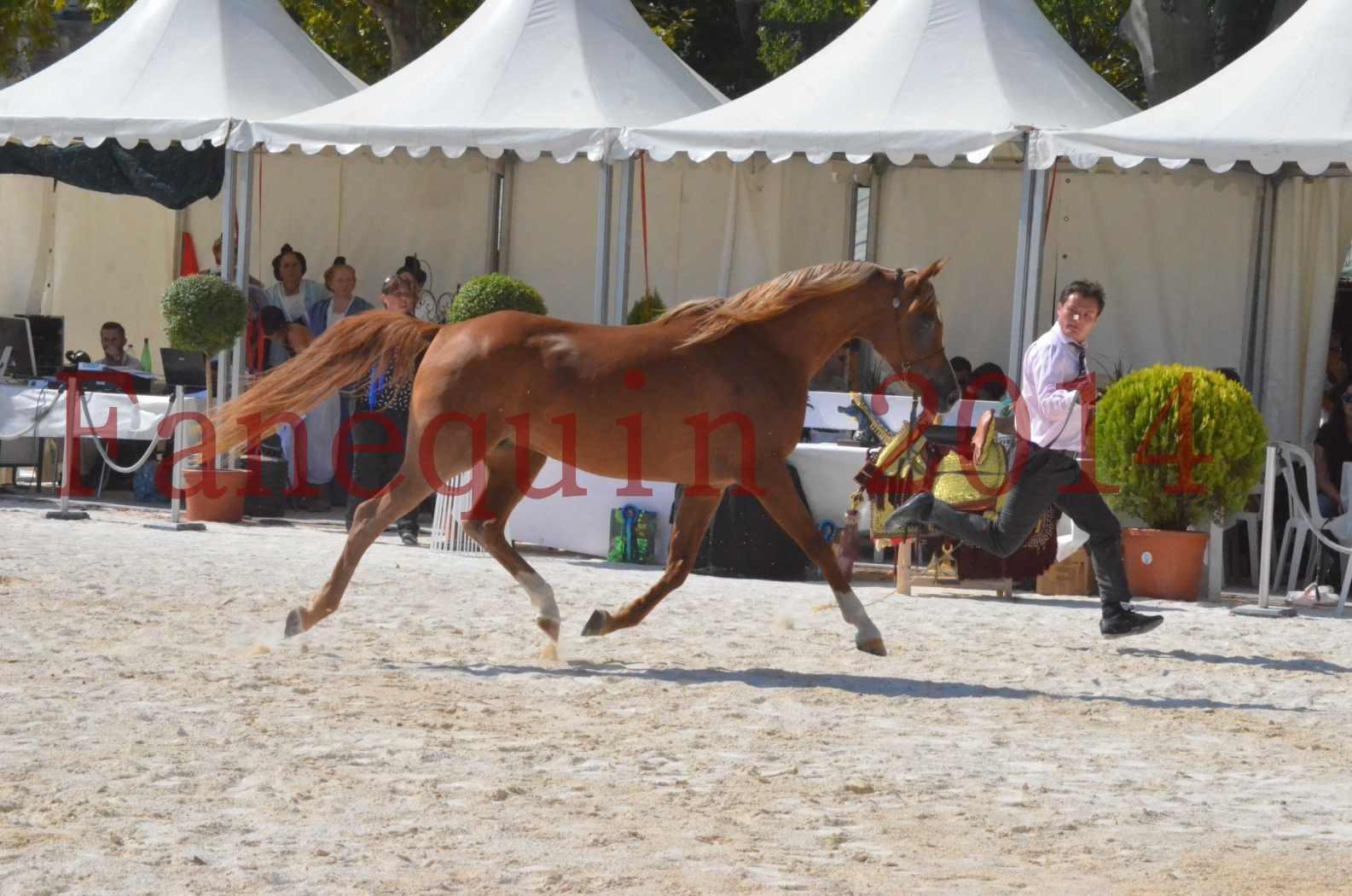Concours National de Nîmes de chevaux ARABES 2014 - Championnat - MASSAI DE BARREL - 14