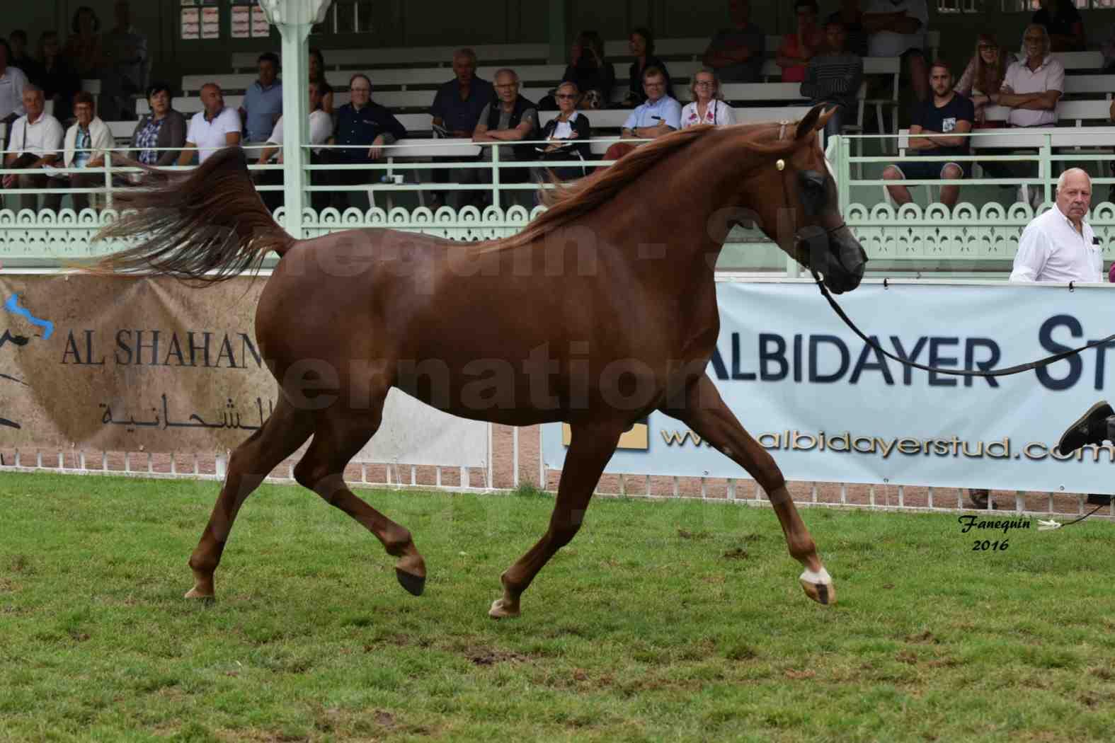 International Arabian Horse Show B de VICHY 2016 - PEARL DE DJOON - Notre Sélection - 05