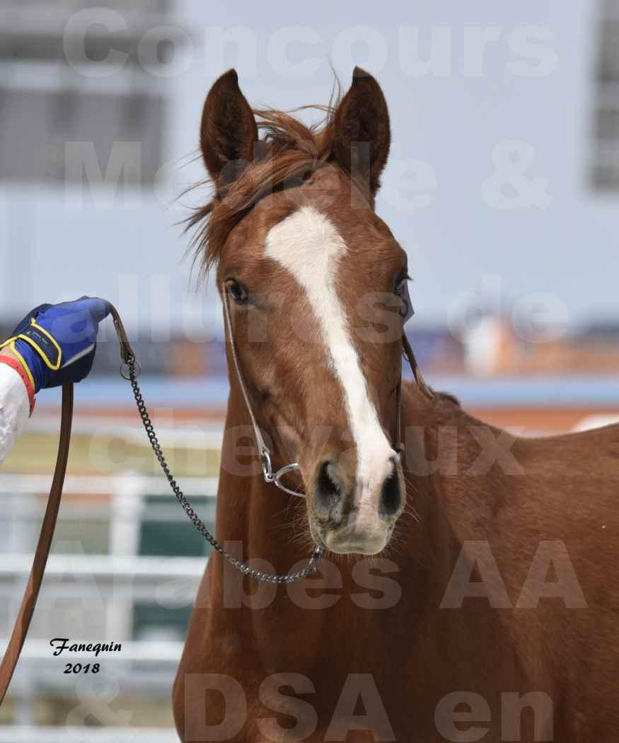 Concours d'élevage de Chevaux Arabes - Demi Sang Arabes - Anglo Arabes - ALBI les 6 & 7 Avril 2018 - FLEURON CONDO - Notre Sélection - Portraits - 1