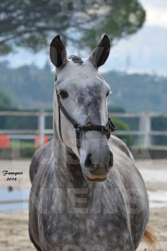 Confirmation de chevaux LUSITANIENS aux Haras d'UZES Novembre 2018 - JAVA DO REAL - Portraits - 2