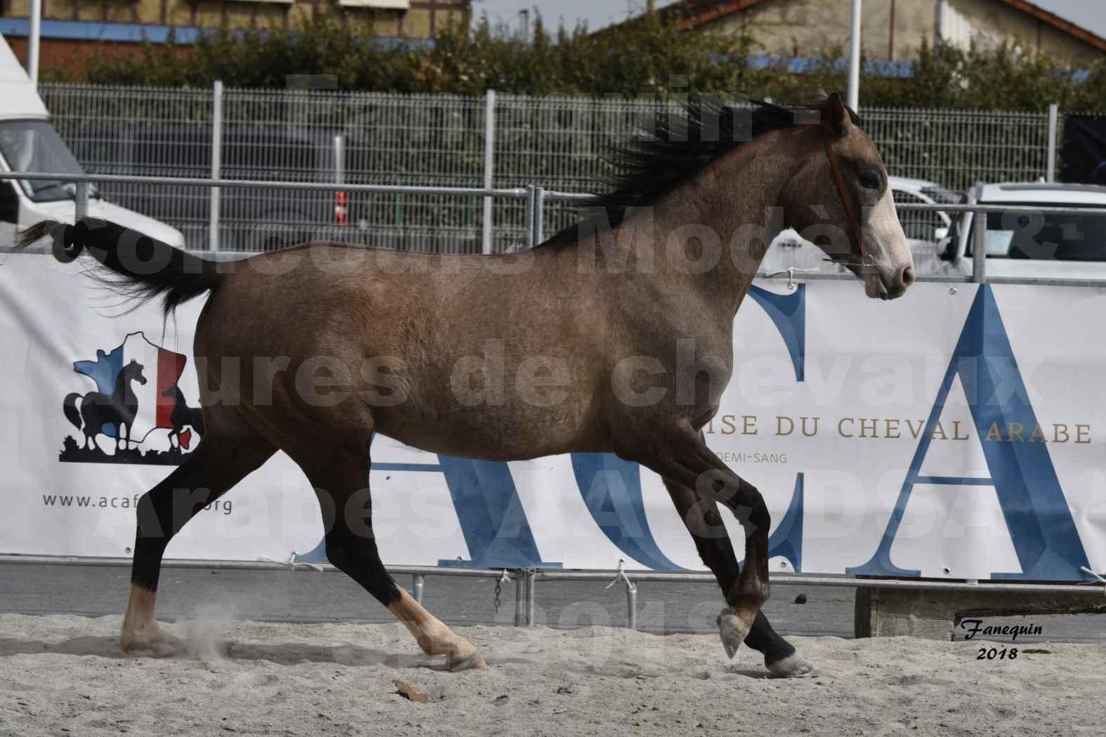 Concours d'élevage de Chevaux Arabes - D. S. A. - A. A. - ALBI les 6 & 7 Avril 2018 - FLORIA DU PUECH - Notre Sélection 04
