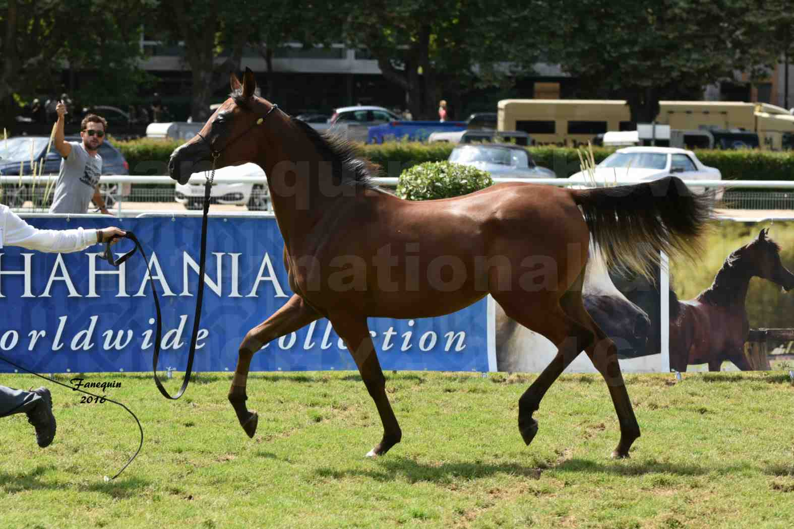 International Arabian Horse Show B de VICHY 2016 - ASRAR MS - Notre Sélection - 5