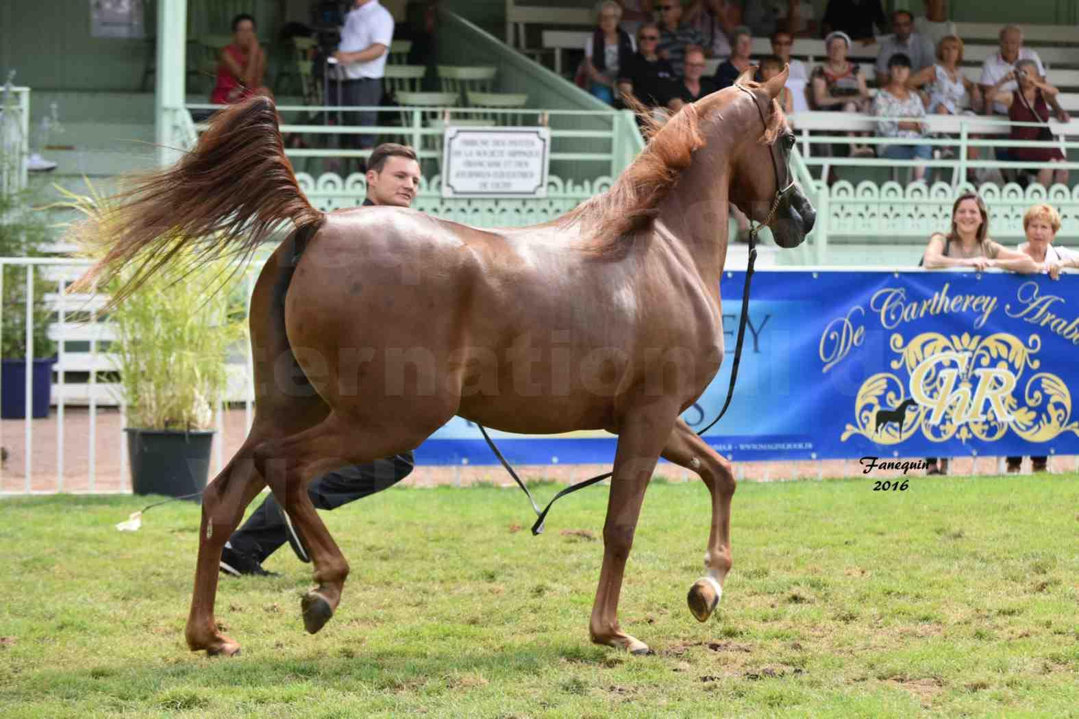 International Arabian Horse Show B de VICHY 2016 - PEARL DE DJOON - Notre Sélection - 32
