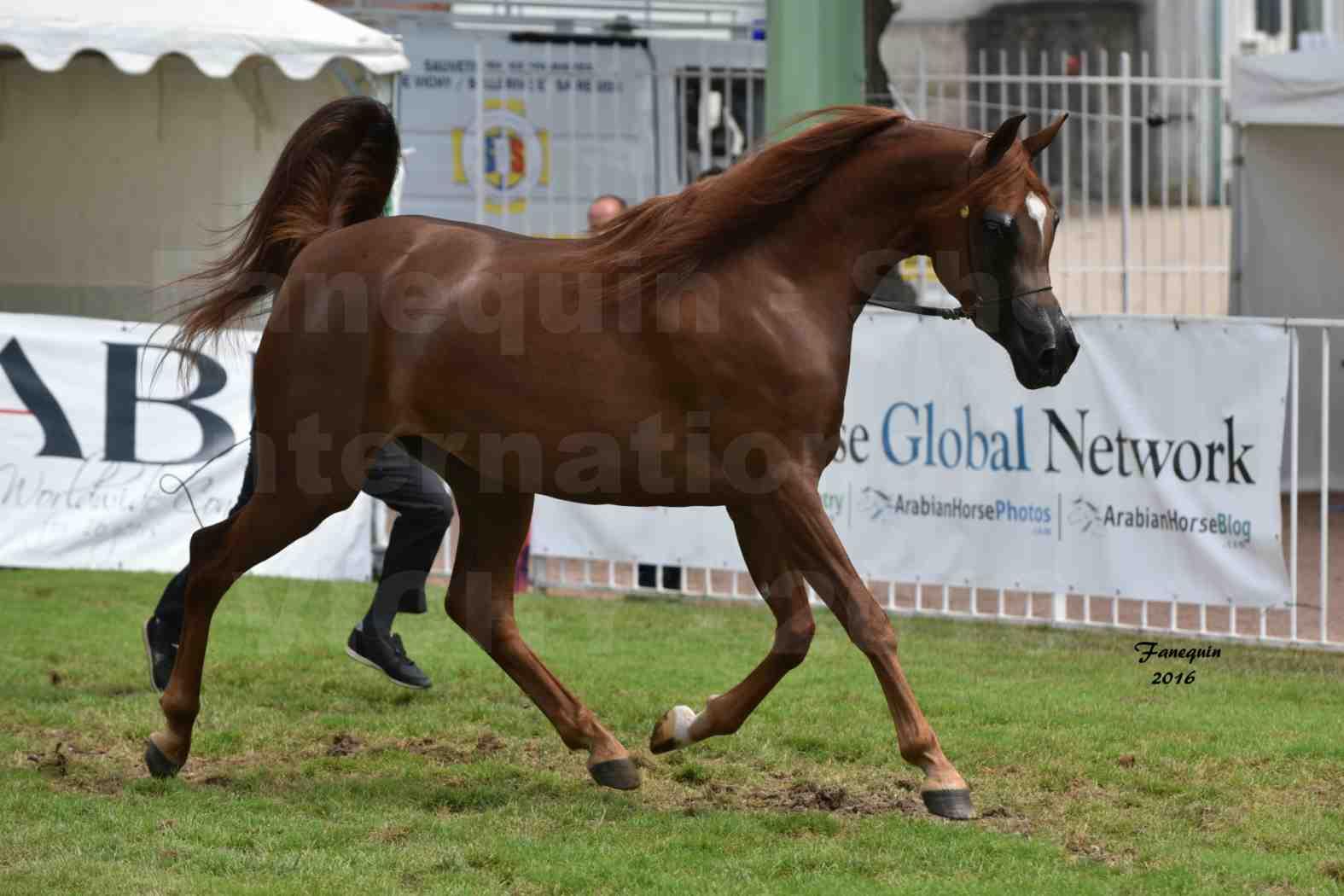 International Arabian Horse Show B de VICHY 2016 - PEARL DE DJOON - Notre Sélection - 26