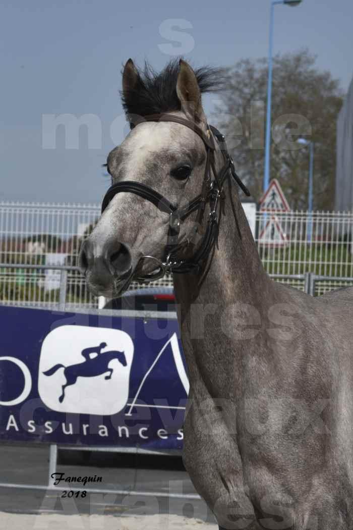 Concours d'élevage de Chevaux Arabes - Demi Sang Arabes - Anglo Arabes - ALBI les 6 & 7 Avril 2018 - GRIMM DE DARRE - Notre Sélection - Portraits - 3