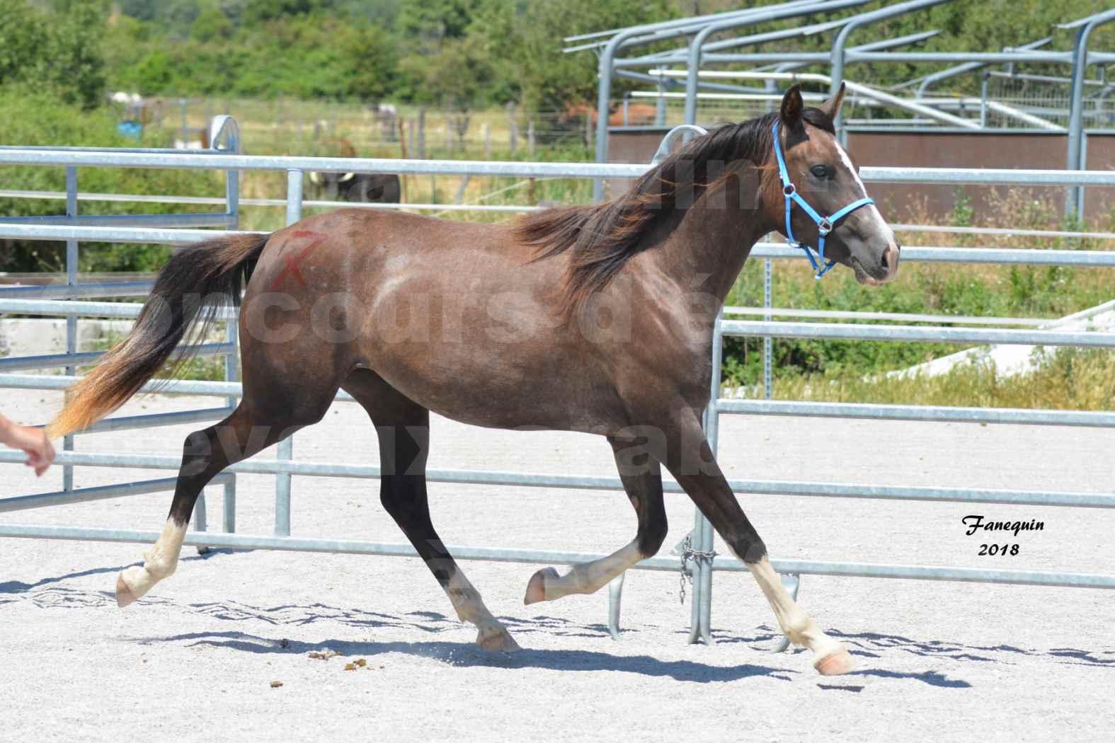 Concours d'Elevage de chevaux Arabes  le 27 juin 2018 à la BOISSIERE - GALICIA D'ALAUZE - 1