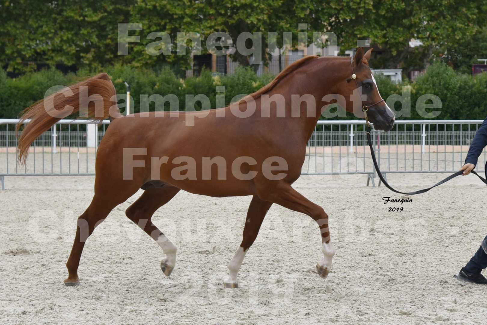 Championnat de France des chevaux Arabes en 2019 à VICHY - DZHARI NUNKI - 2