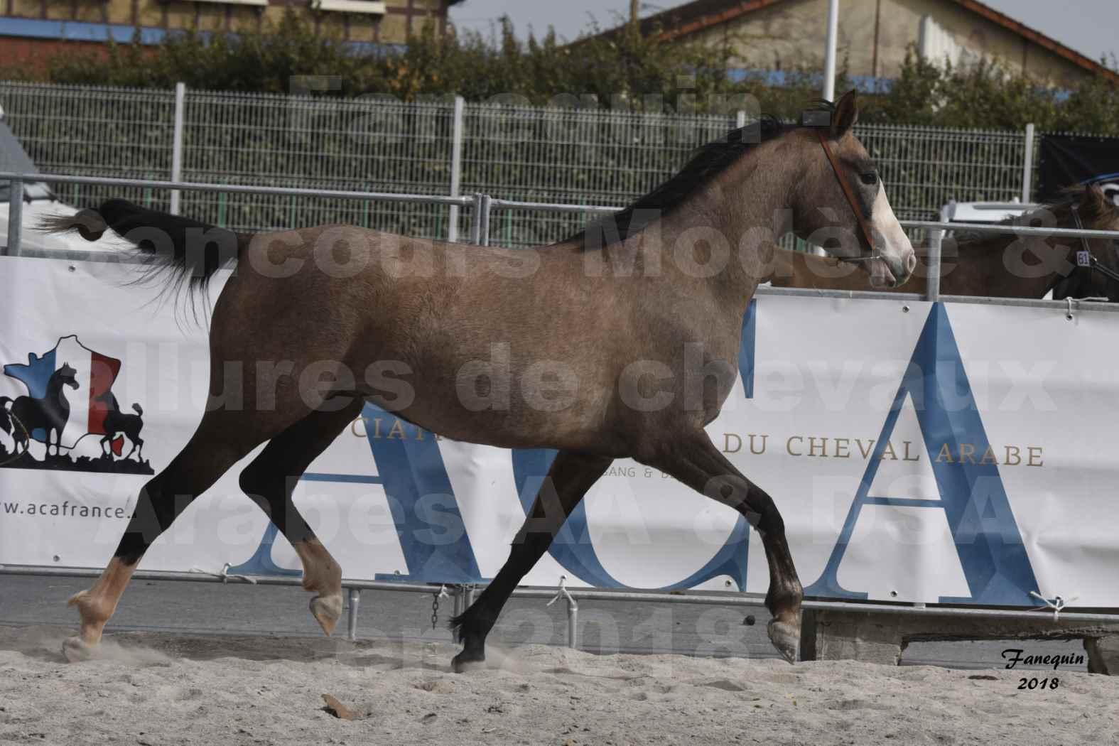 Concours d'élevage de Chevaux Arabes - D. S. A. - A. A. - ALBI les 6 & 7 Avril 2018 - FLORIA DU PUECH - Notre Sélection 09