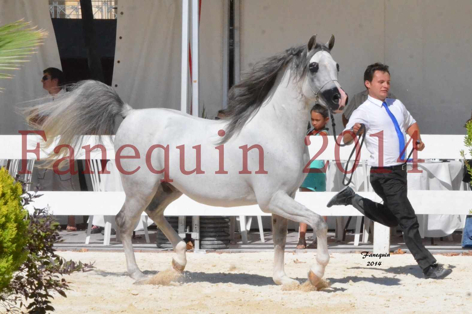 Concours National de Nîmes de chevaux ARABES 2014 - Notre Sélection - SHAOLIN DE NEDJAIA - 03