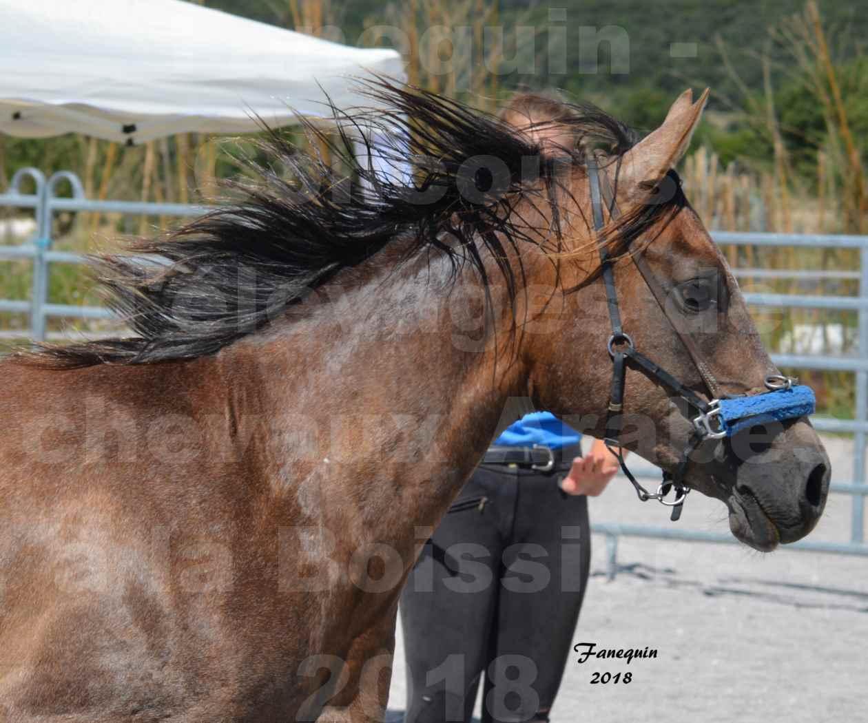 Concours d'Elevage de chevaux Arabes  le 27 juin 2018 à la BOISSIERE - MAREK LOTOIS - 1