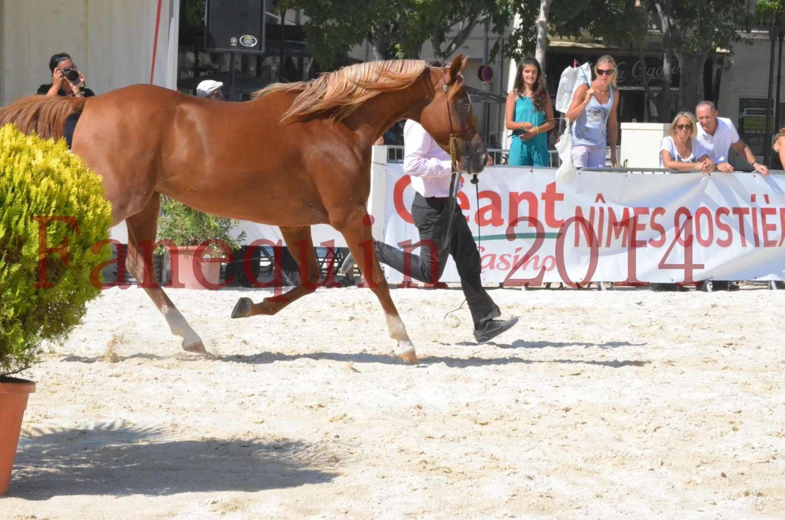Concours National de Nîmes de chevaux ARABES 2014 - Championnat - MASSAI DE BARREL - 27