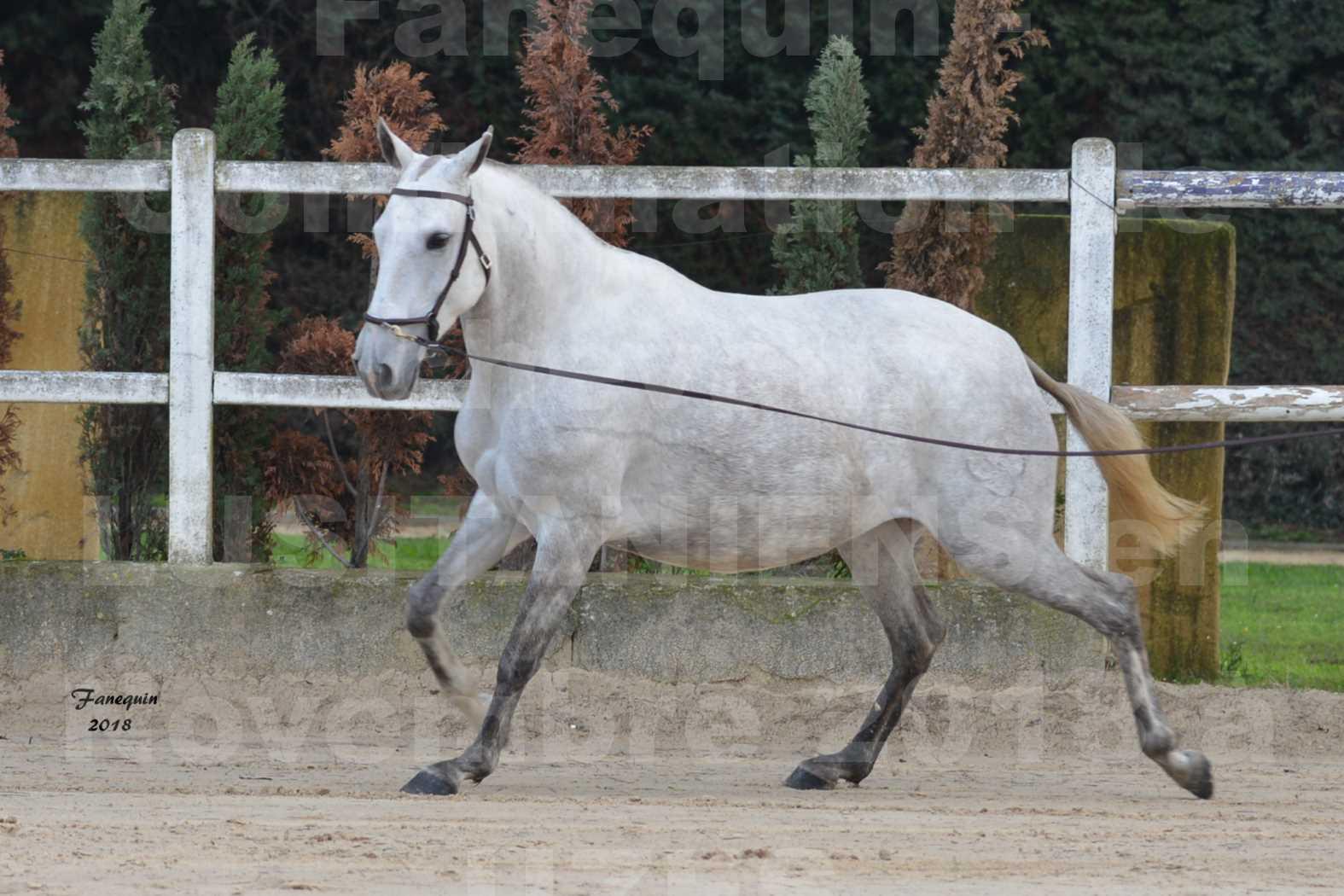 Confirmation de chevaux LUSITANIENS aux Haras d'UZES Novembre 2018 - DANAÏDE DU MOLE - 4