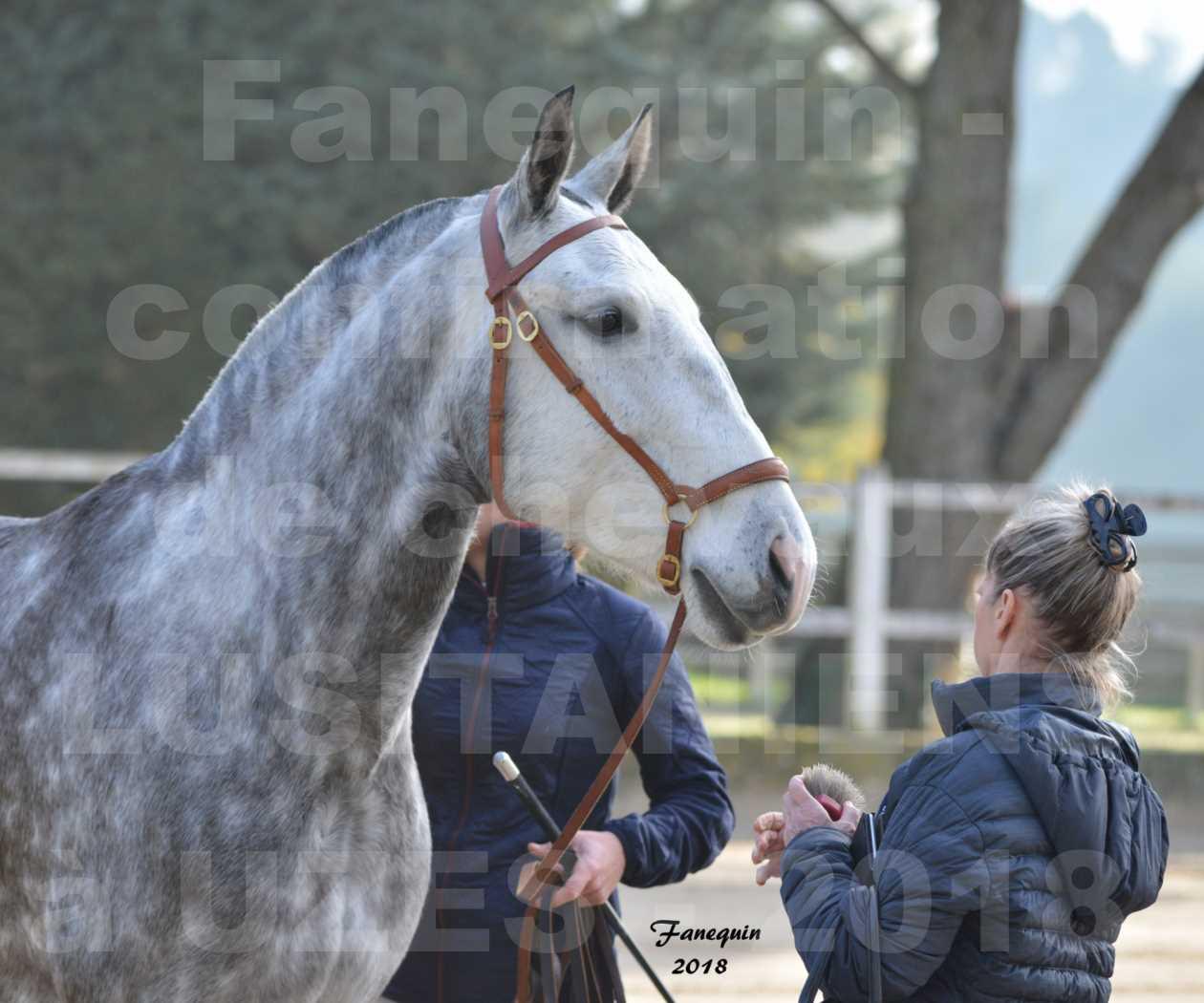 Confirmation de chevaux LUSITANIENS aux Haras d'UZES Novembre 2018 - JANIA SAINT SAUVEUR - Portraits - 1