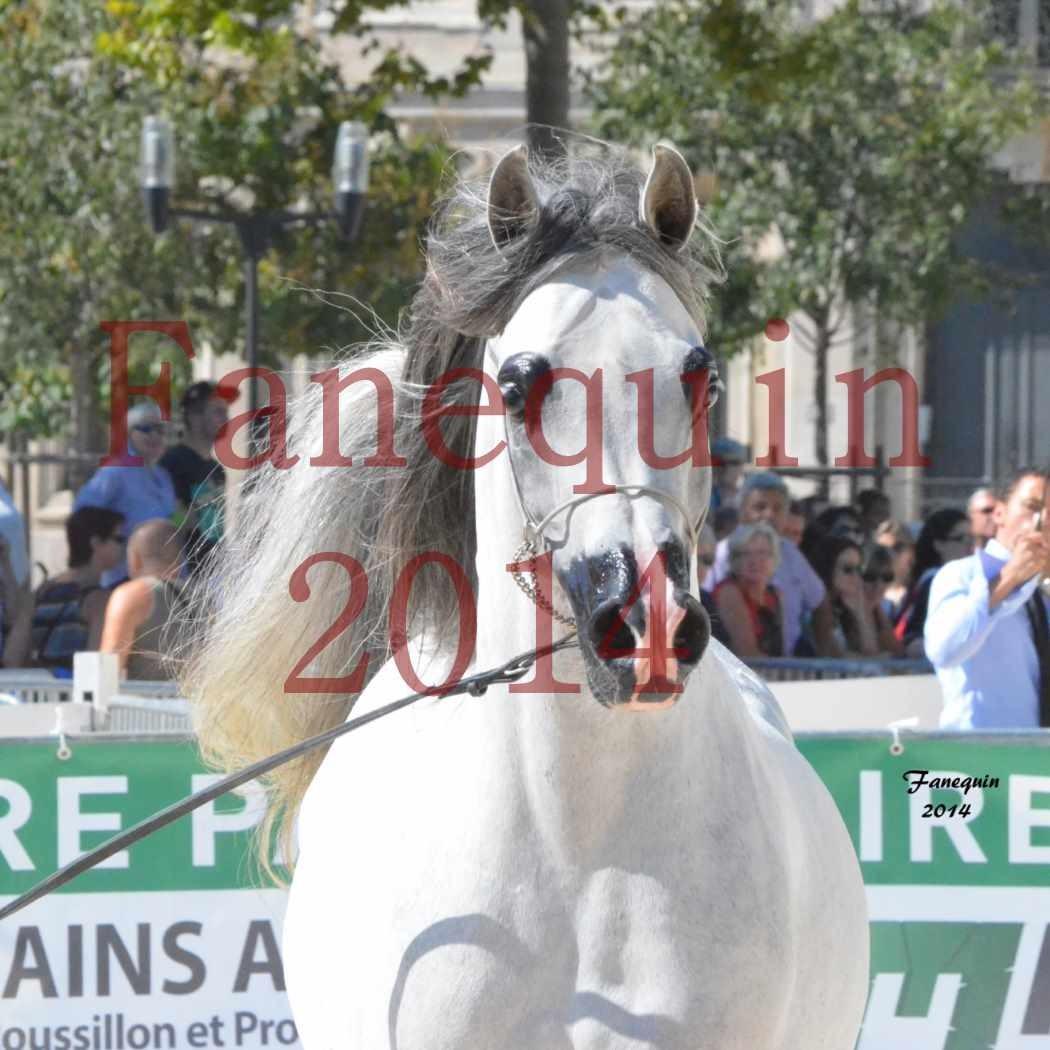 Concours National de Nîmes de chevaux ARABES 2014 - Notre Sélection - Portraits - SHAOLIN DE NEDJAIA - 09