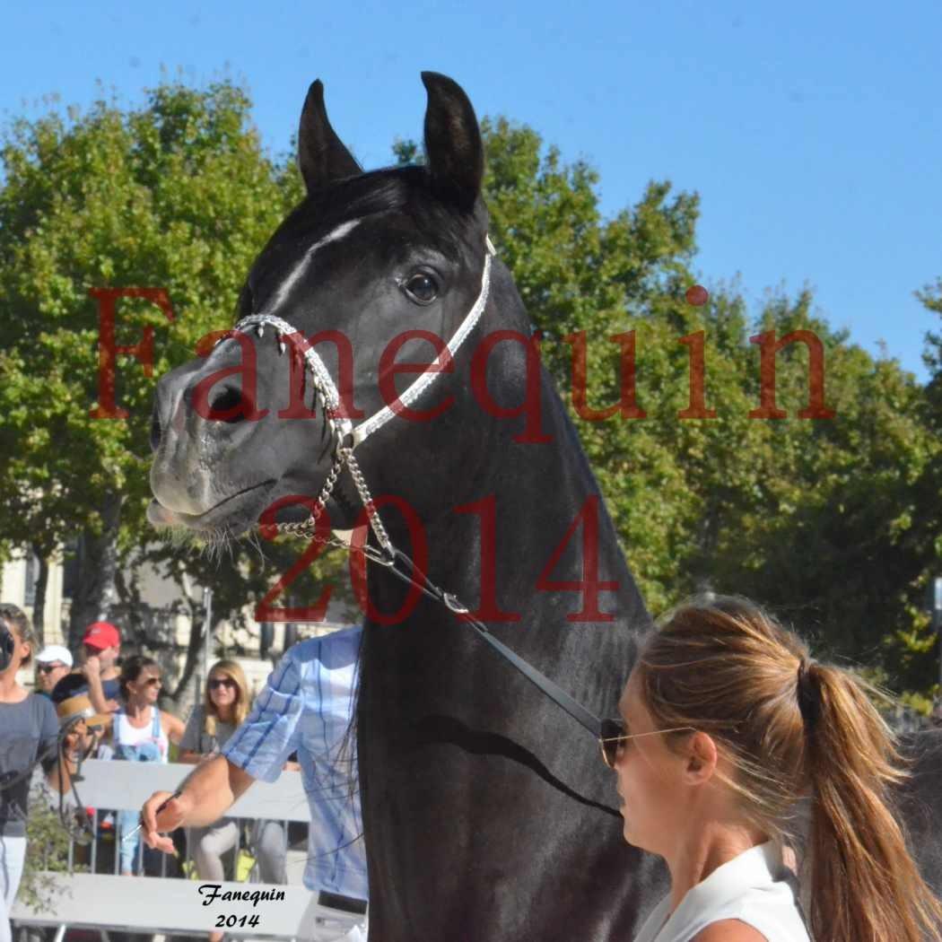 Concours National de Nîmes de chevaux ARABES 2014 - Notre Sélection - Portraits - BALTYK DE CHAUMONT - 4