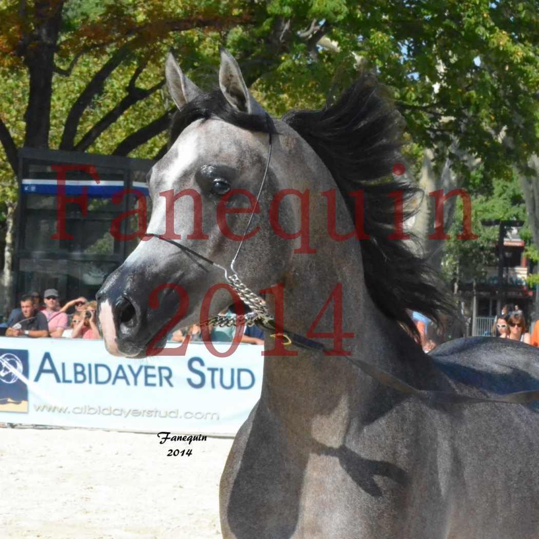Concours National de Nîmes de chevaux ARABES 2014 - Notre Sélection - Portraits - JOSEPH'S BOUZIOLS - 04