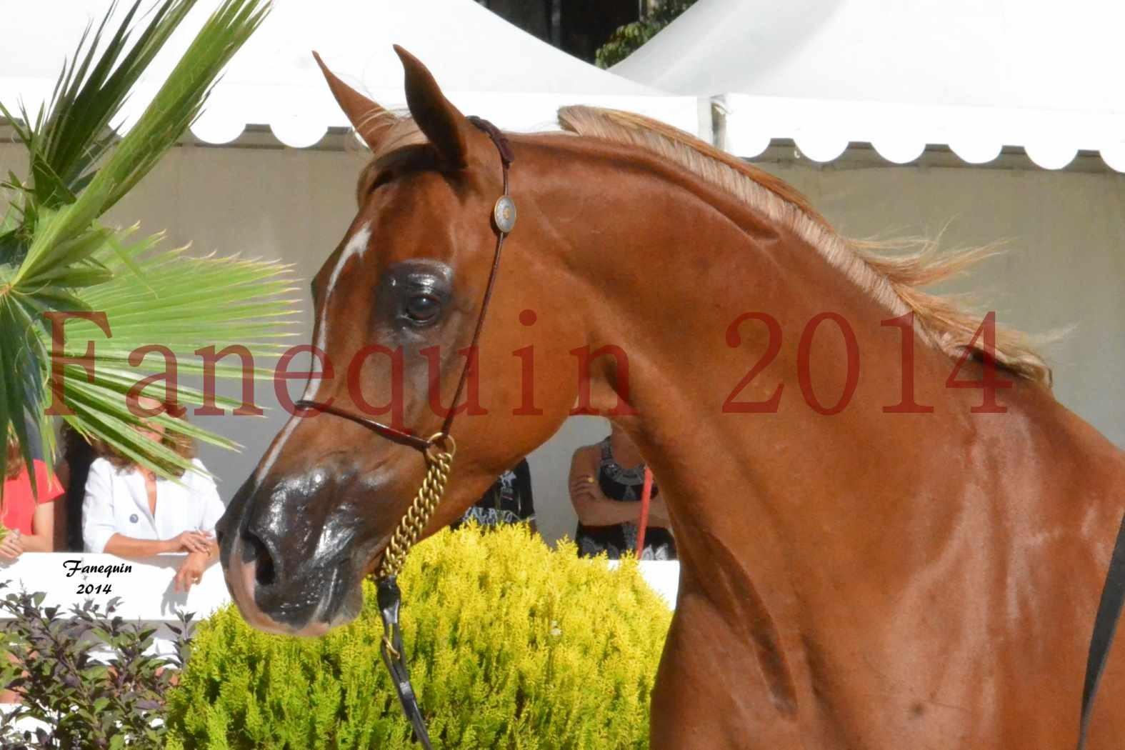 Concours National de Nîmes de chevaux ARABES 2014 - Notre Sélection - Portraits - MASSAI DE BARREL - 1