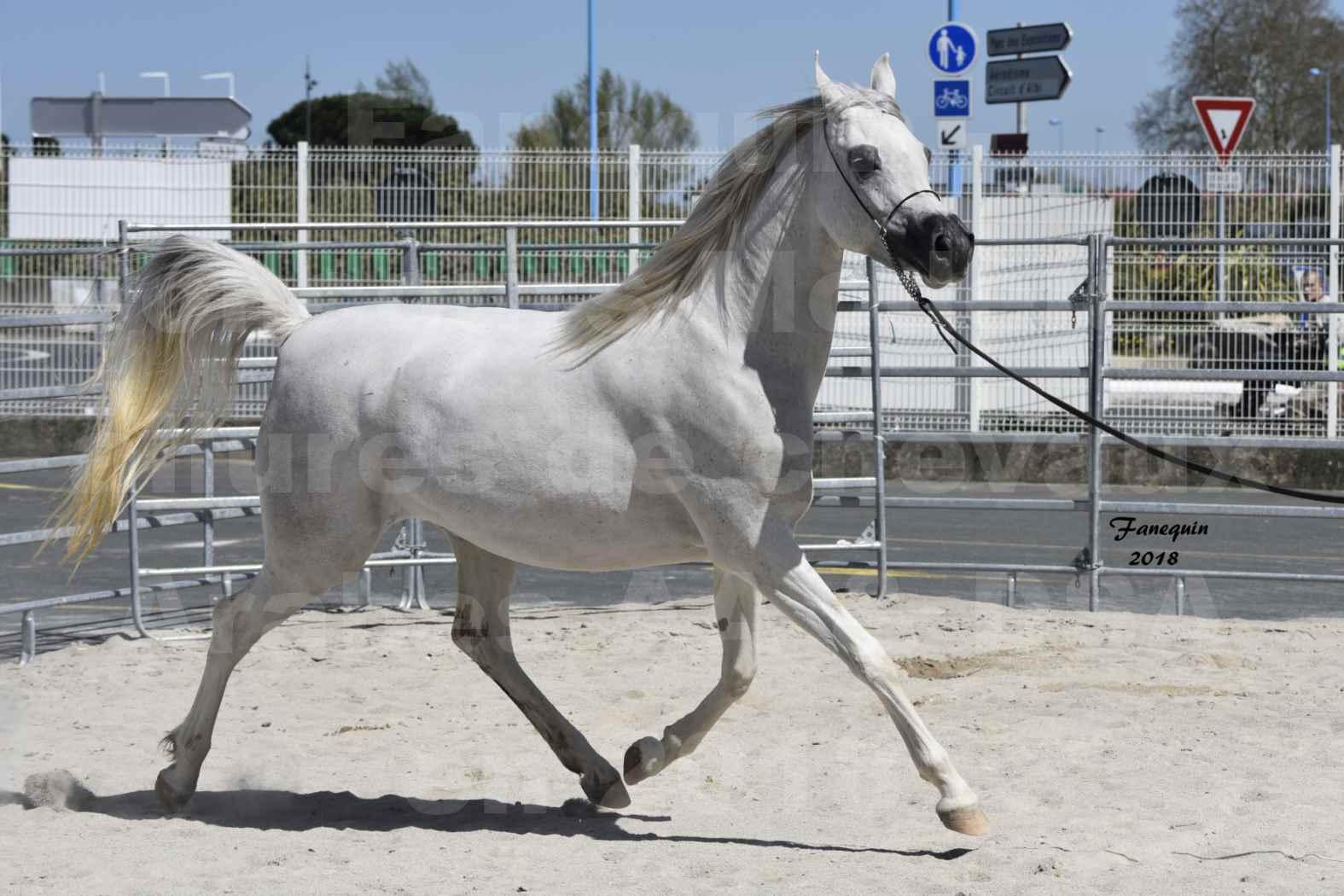 Concours d'élevage de Chevaux Arabes - Demi Sang Arabes - Anglo Arabes - ALBI les 6 & 7 Avril 2018 - FEDORA DE LAFON - Notre Sélection - 3