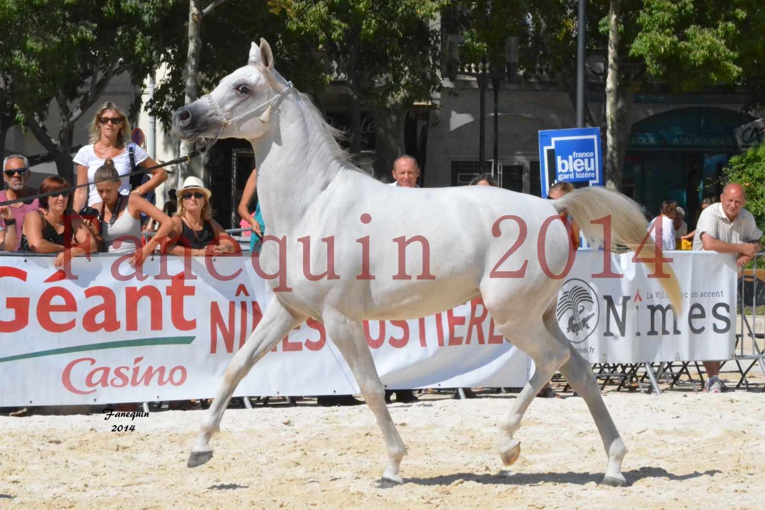 Concours National de Nîmes de chevaux ARABES 2014 - ENVY ETERNITY - 03