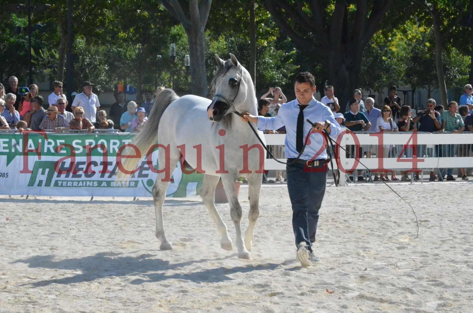 Concours National de Nîmes de chevaux ARABES 2014 - Championnat - SHAOLIN DE NEDJAIA - 43