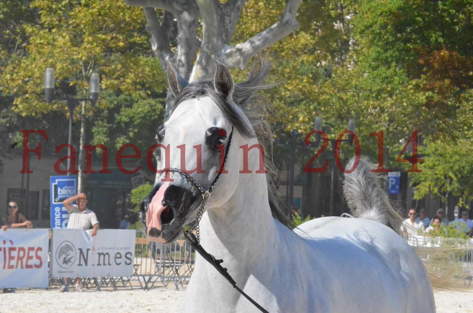 Concours National de Nîmes de chevaux ARABES 2014 - Championnat - SHAOLIN DE NEDJAIA - 22