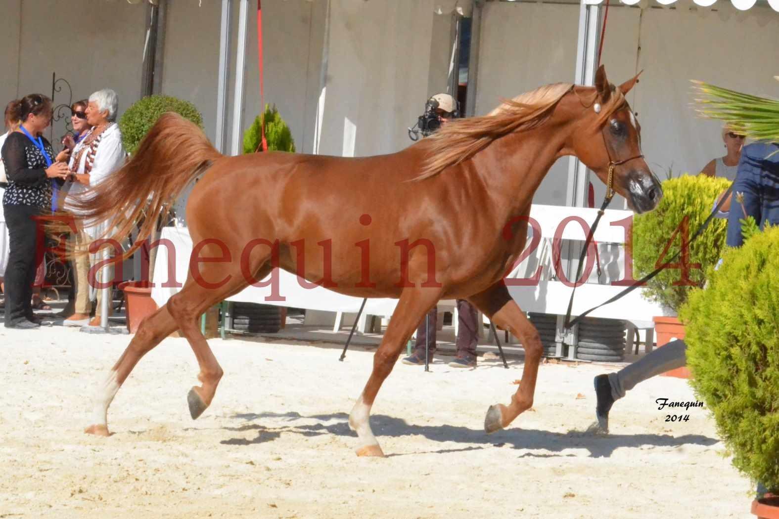 Concours National de Nîmes de chevaux ARABES 2014 - Notre Sélection - MASSAI DE BARREL - 08