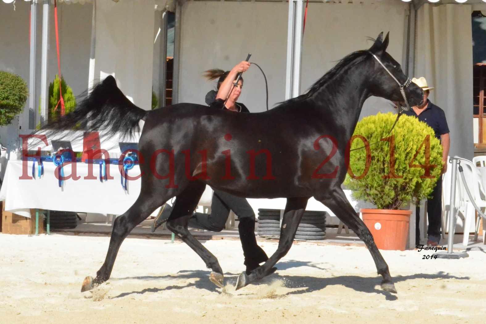 Concours National de Nîmes de chevaux ARABES 2014 - Notre Sélection - COLKAZEENIA DU SOLEIL - 3