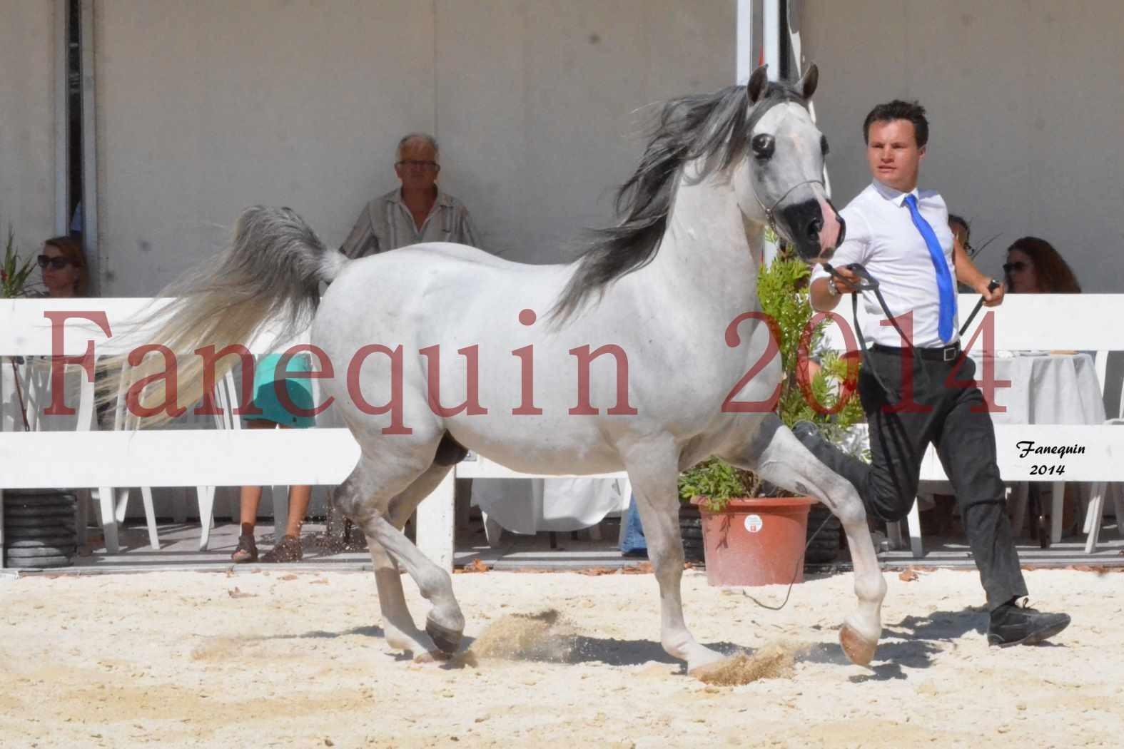 Concours National de Nîmes de chevaux ARABES 2014 - Notre Sélection - SHAOLIN DE NEDJAIA - 05