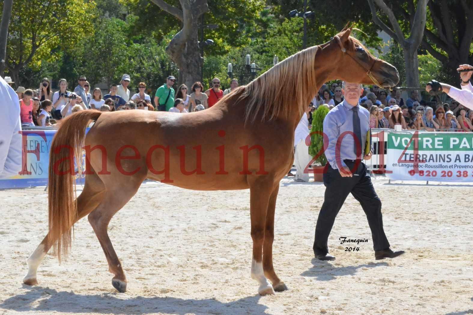 Concours National de Nîmes de chevaux ARABES 2014 - Notre Sélection - MASSAI DE BARREL - 05