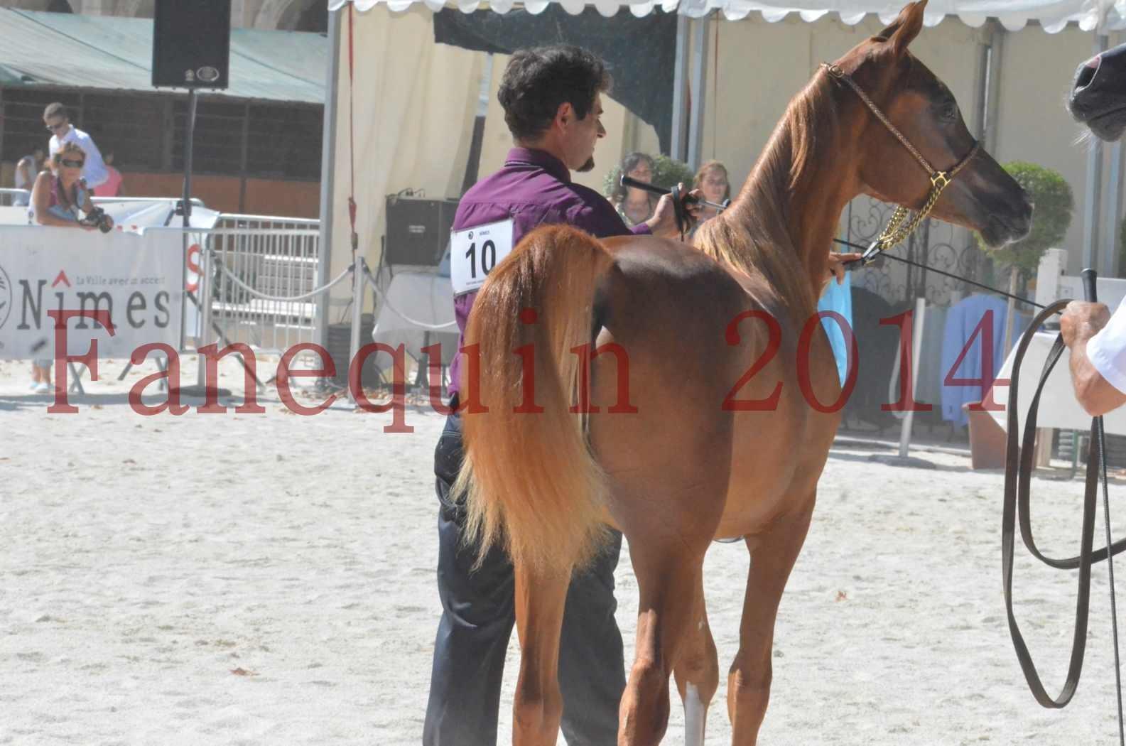 Concours National de Nîmes de chevaux ARABES 2014 - TSAR NERIO - 14