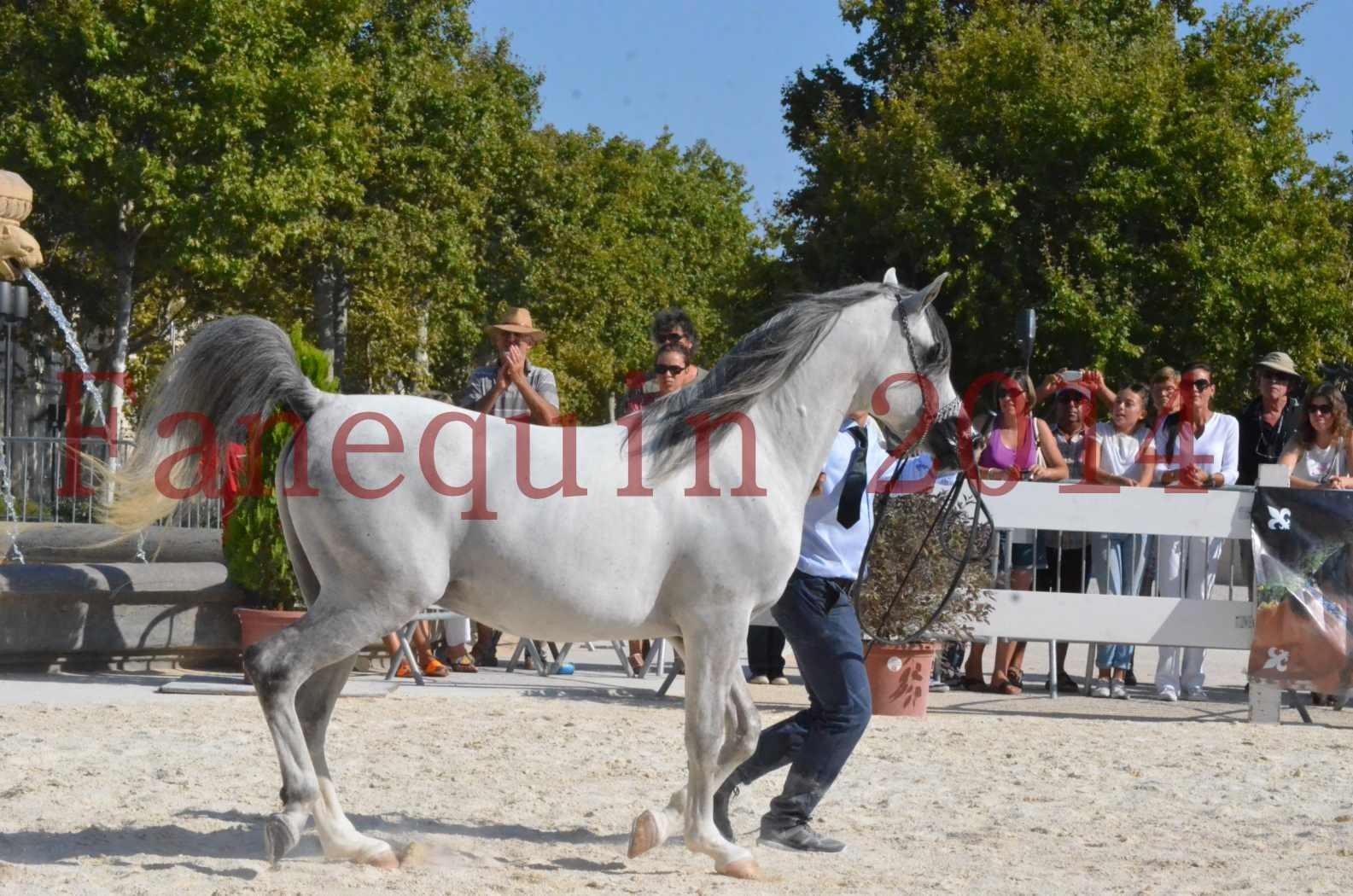 Concours National de Nîmes de chevaux ARABES 2014 - Championnat - SHAOLIN DE NEDJAIA - 51