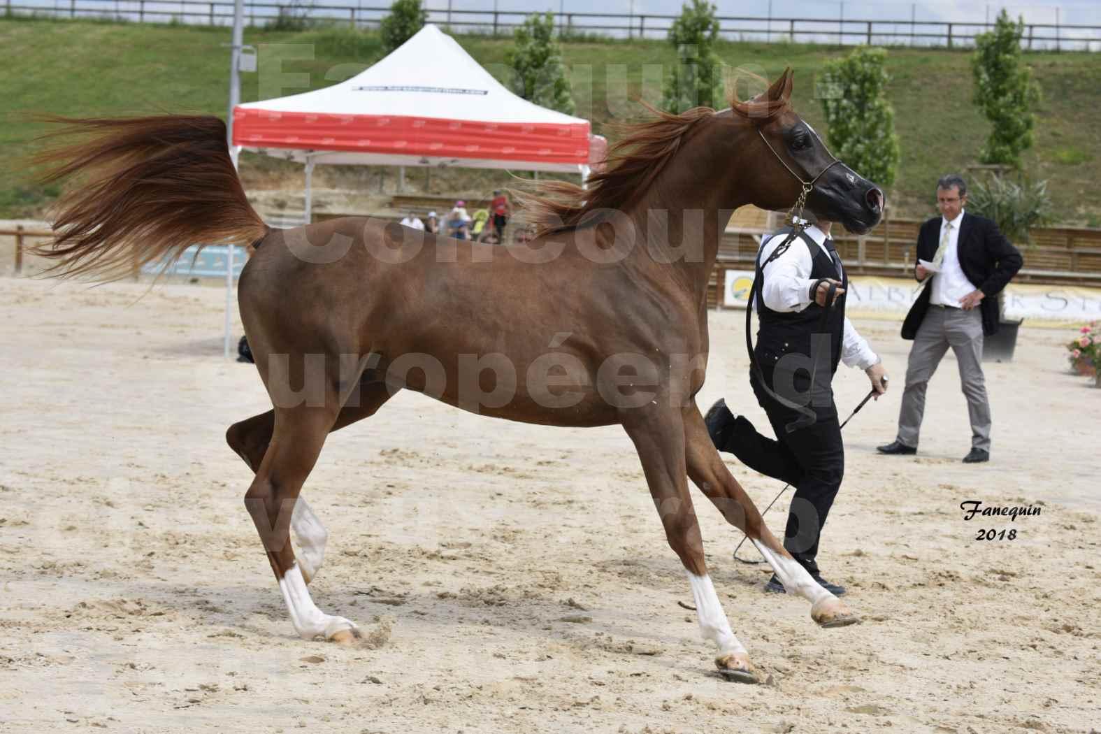 Concours Européen de chevaux Arabes à Chazey sur Ain 2018 - FANTASTIK - Notre Sélection - 5