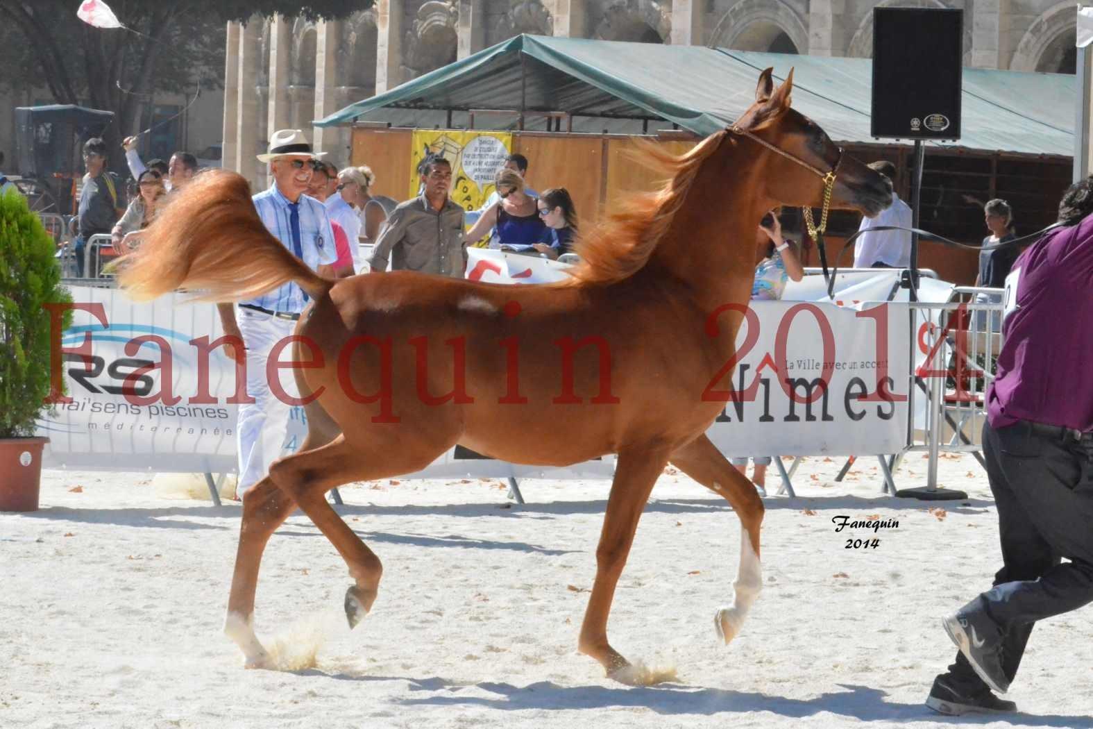 Concours National de Nîmes de chevaux ARABES 2014 - Notre Sélection - TSAR NERIO - 03