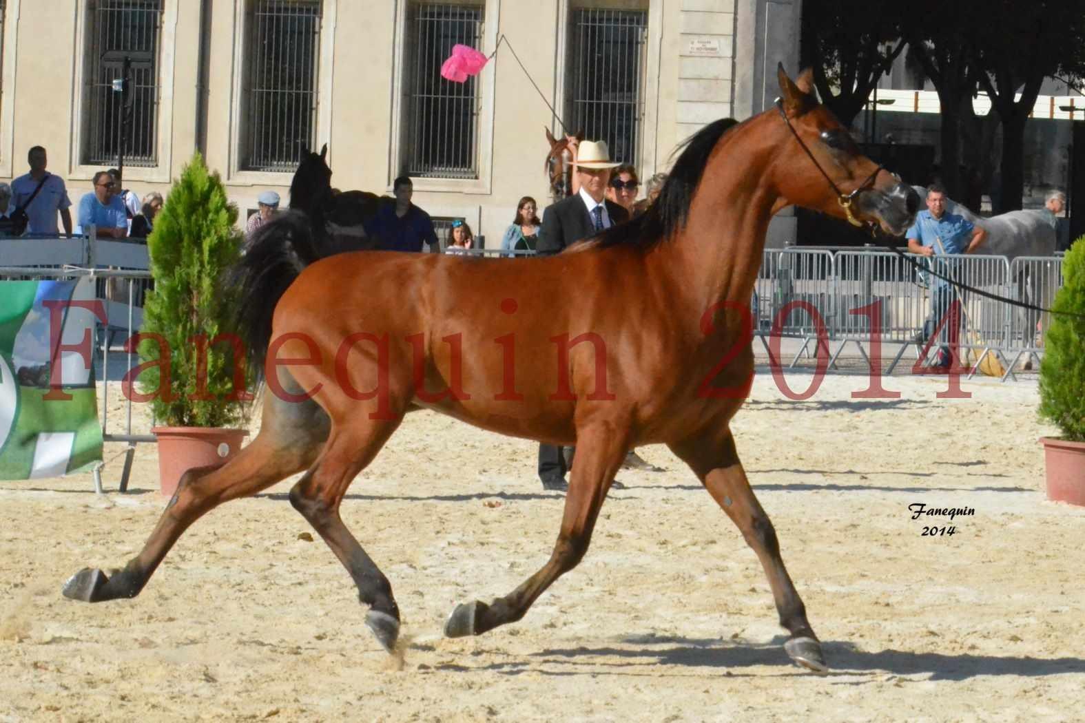Concours National de Nîmes de chevaux ARABES 2014 - Notre Sélection - ABHA TALAWA - 7