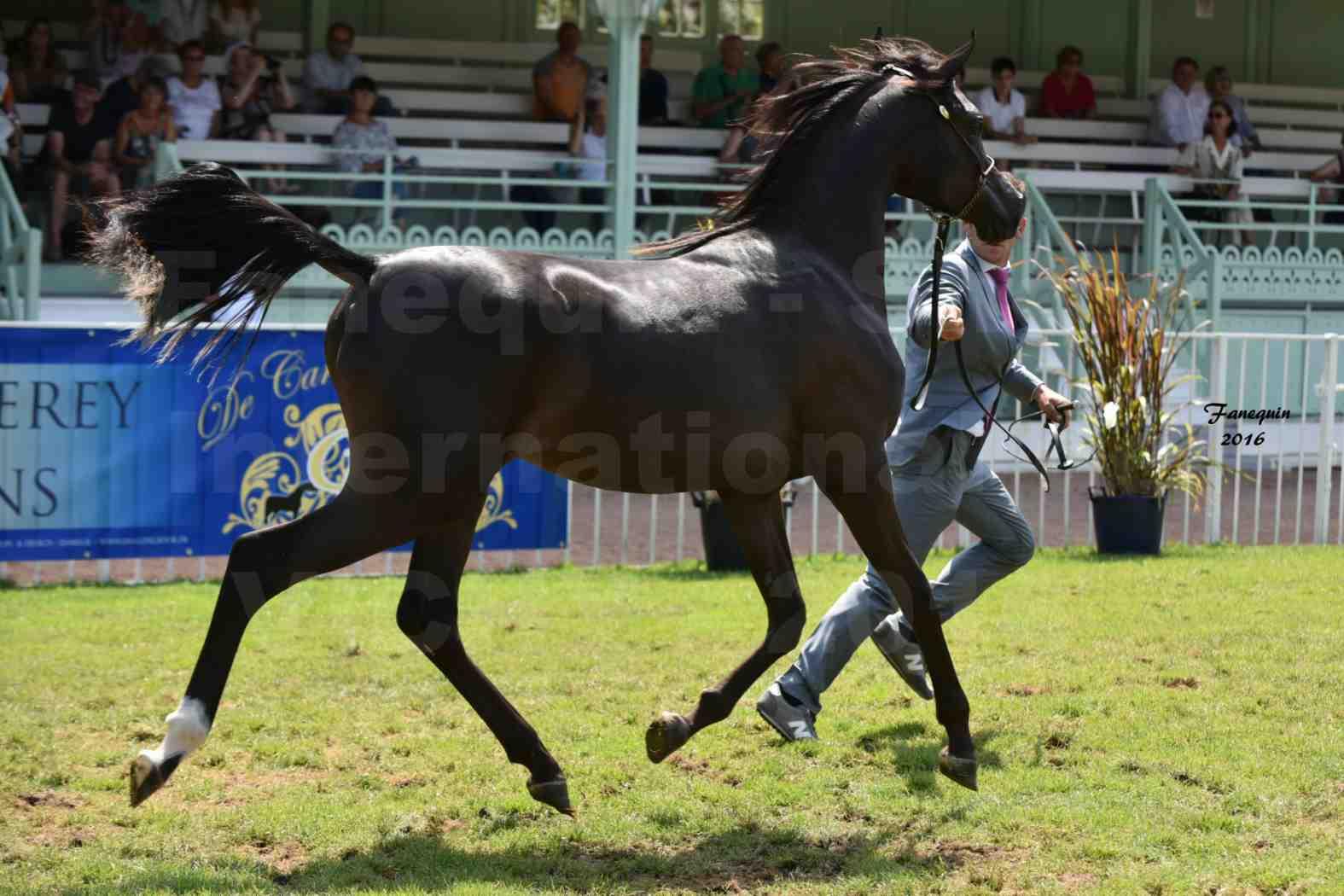 International Arabian Horse Show B de VICHY 2016 - ANNALISA ALIH - Notre Sélection - 5
