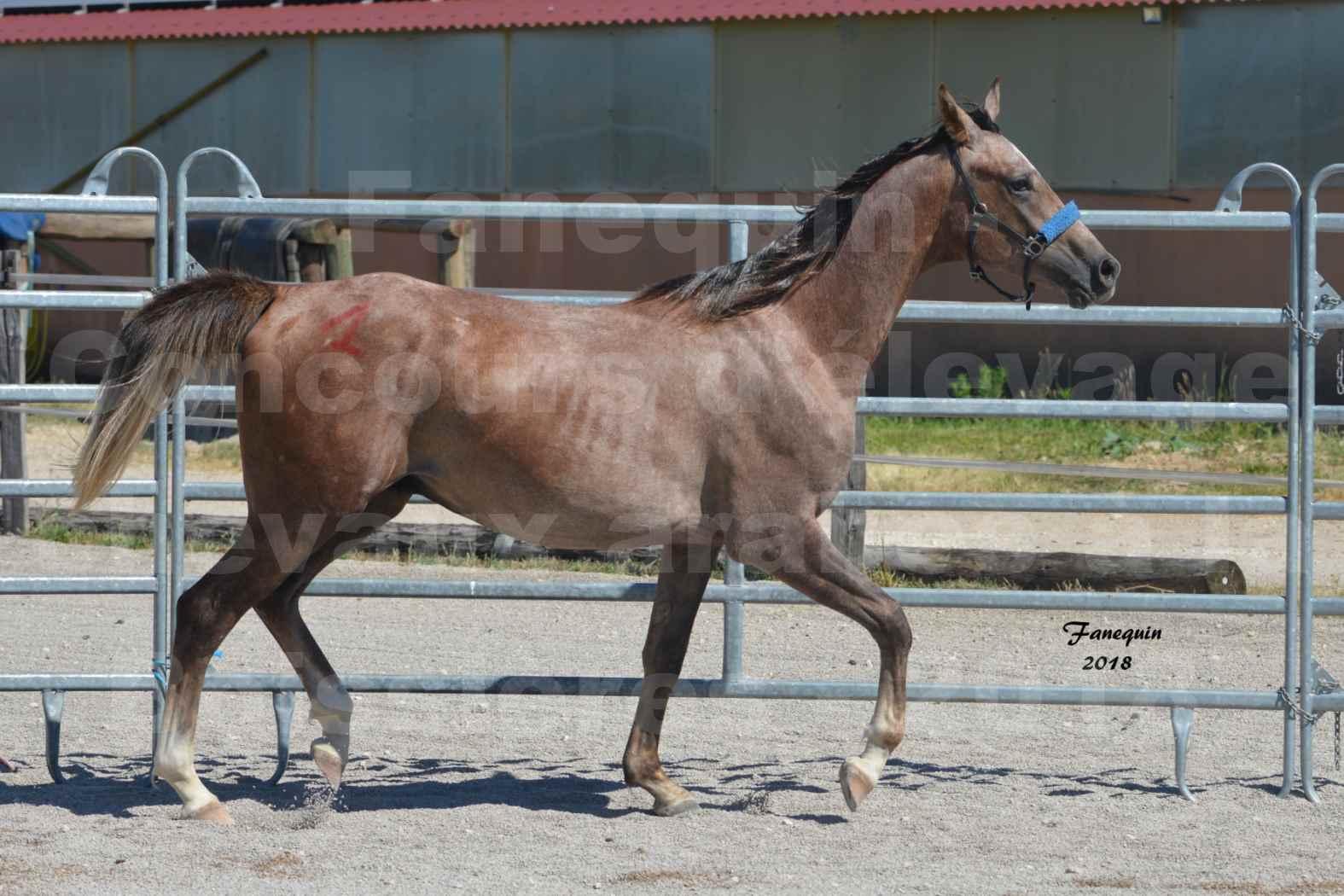 Concours d'Elevage de chevaux Arabes  le 27 juin 2018 à la BOISSIERE - FOXTROT FONT NOIRE - 03