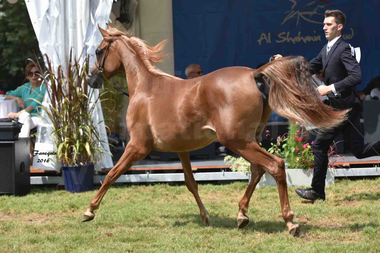 International Arabian Horse Show B de VICHY 2016 - JA FALAENE - Notre Sélection - 07