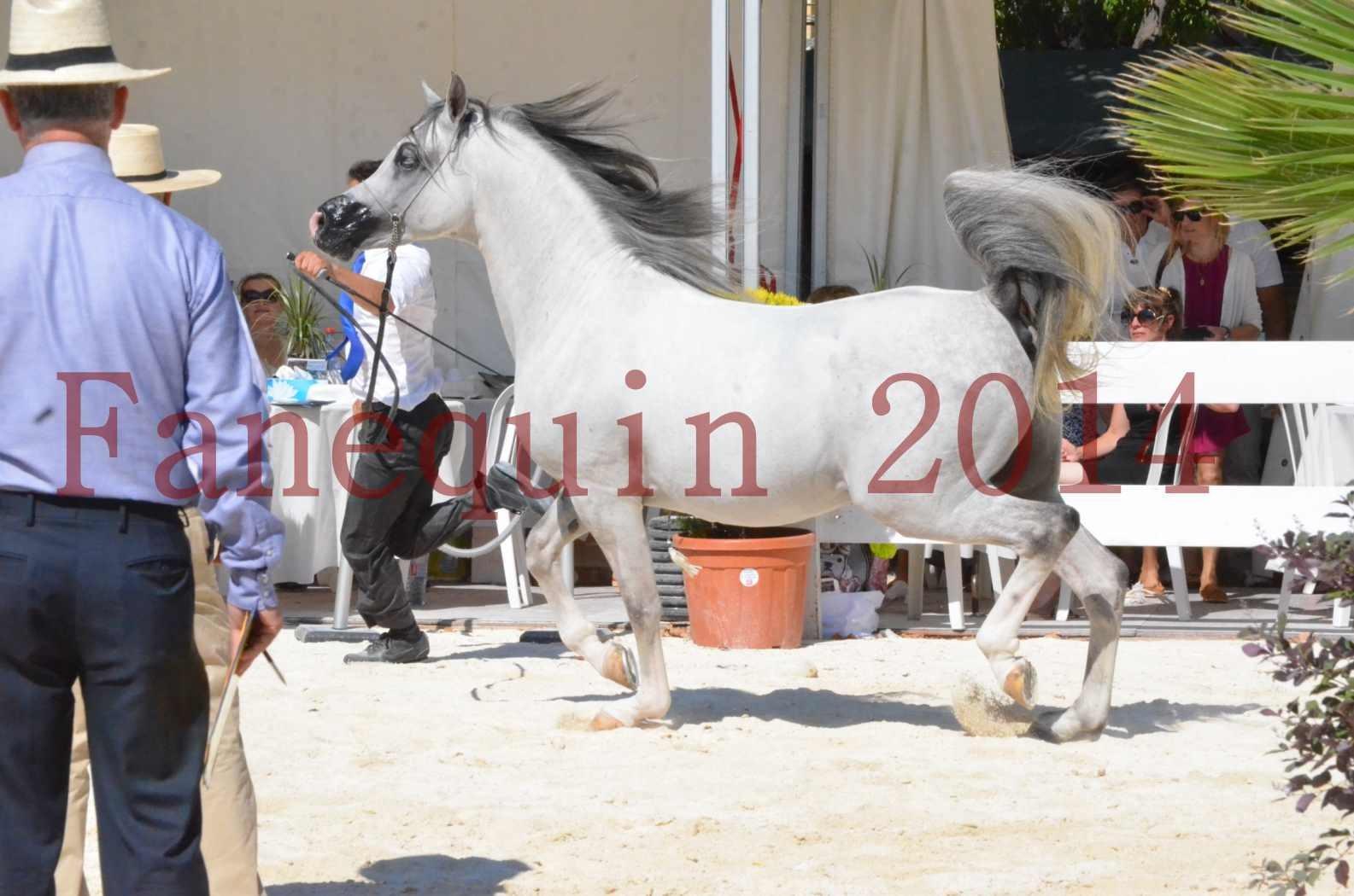 Concours National de Nîmes de chevaux ARABES 2014 - Sélection - SHAOLIN DE NEDJAIA - 31