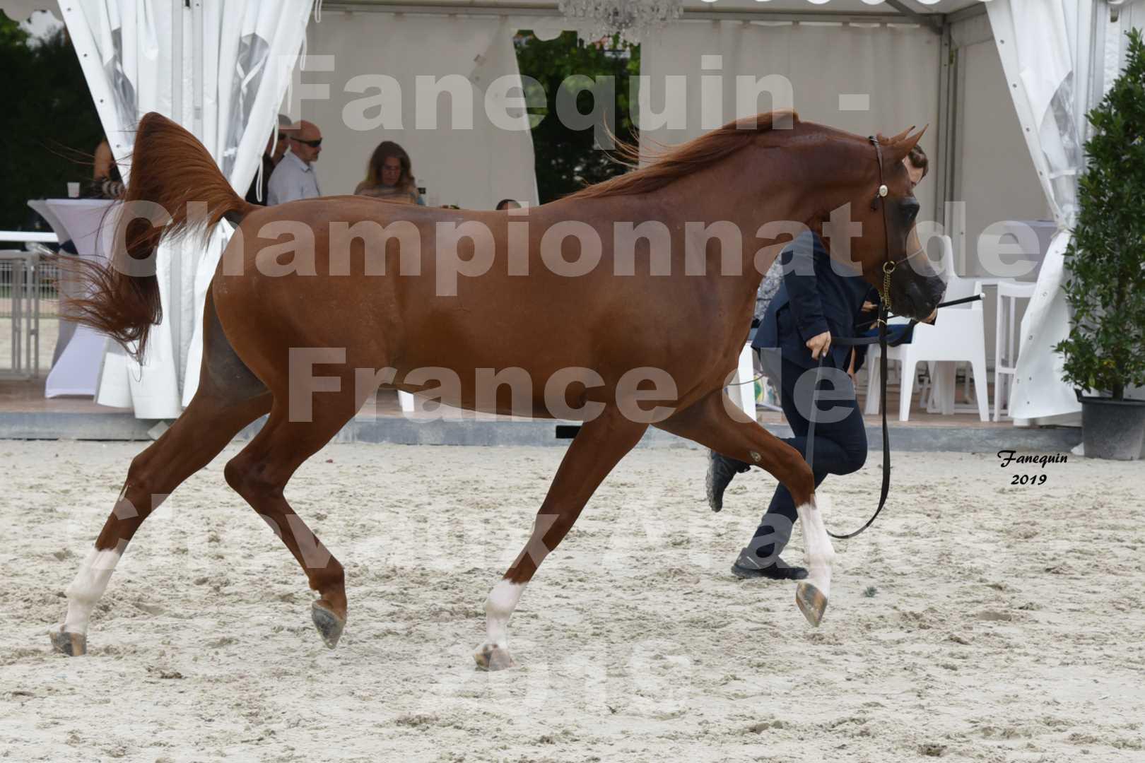 Championnat de France des chevaux Arabes en 2019 à VICHY - DZHARI NUNKI - 4